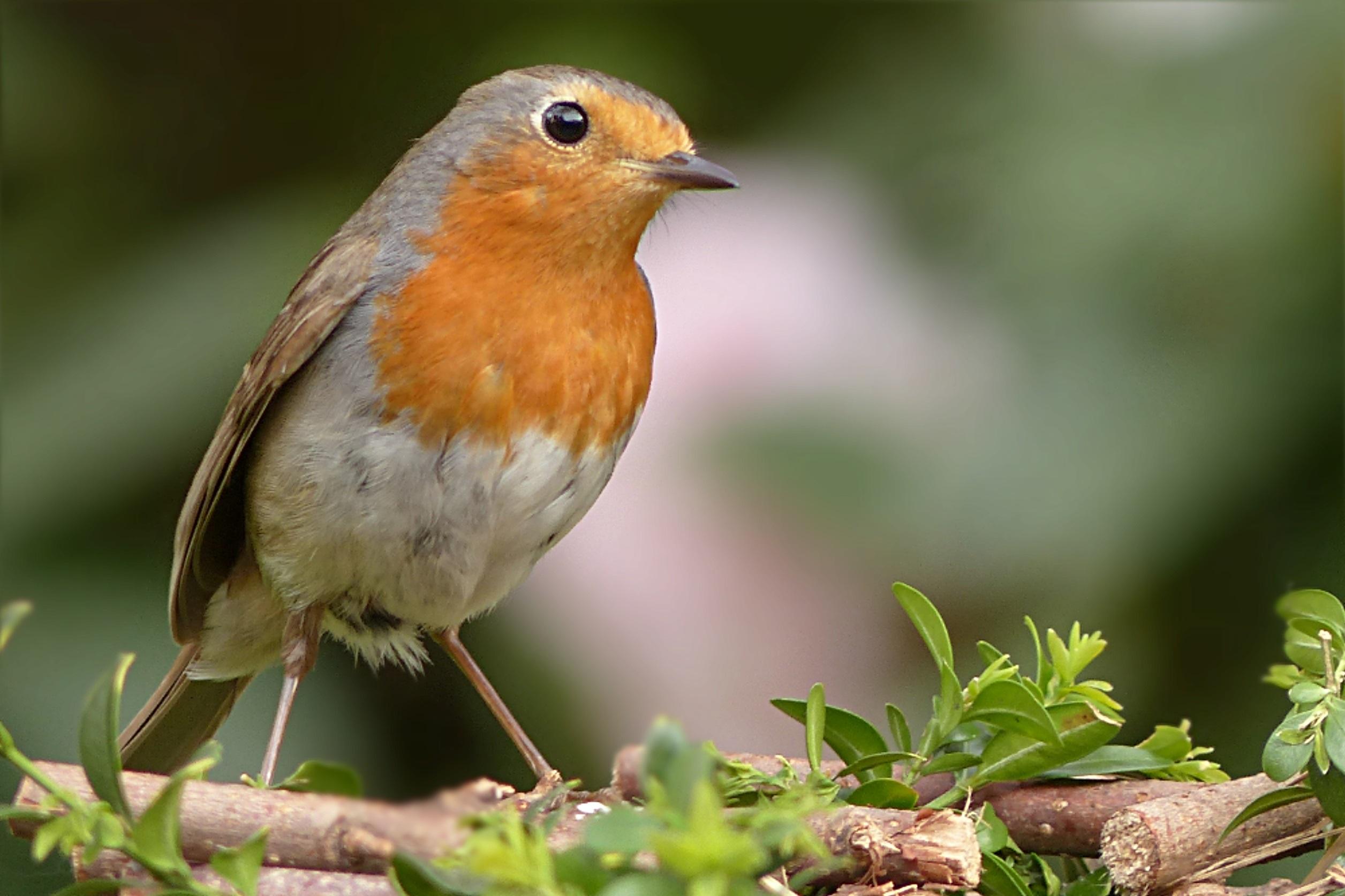 если хотите дикие птицы маленьких размеров далеко первый случай