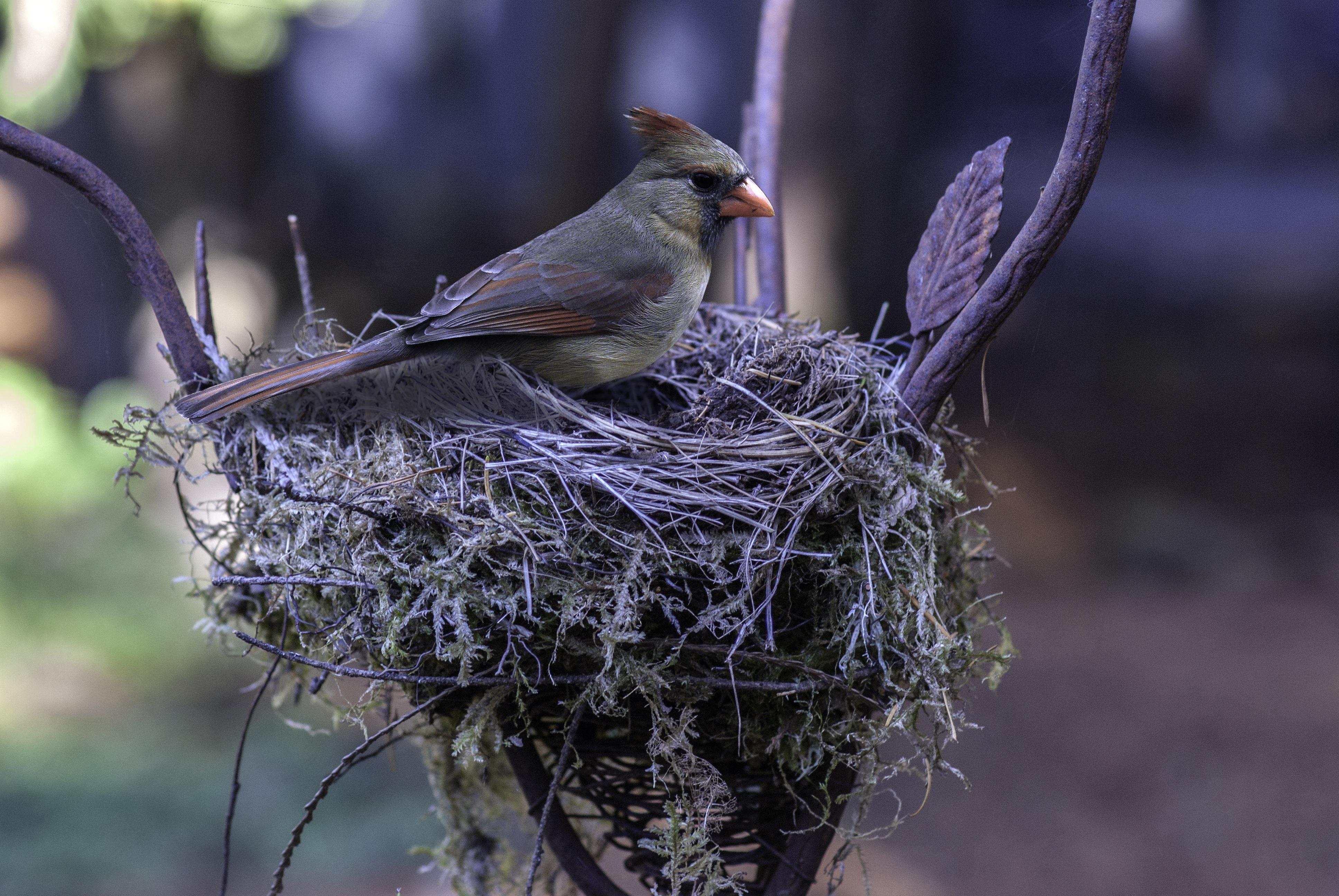 картинка птица вьет гнездо