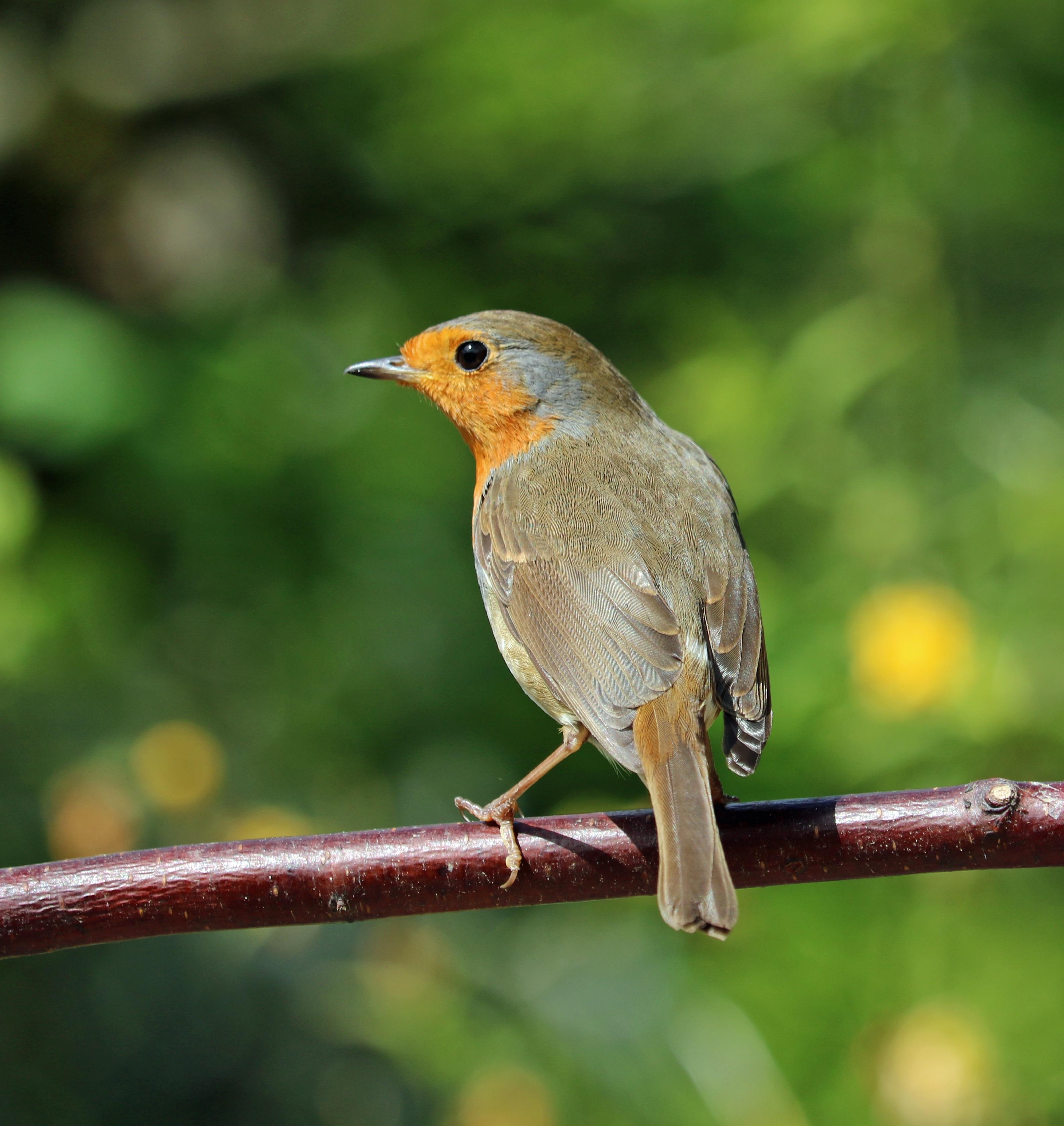 Free Images : nature, branch, wildlife, red, beak, fauna ...