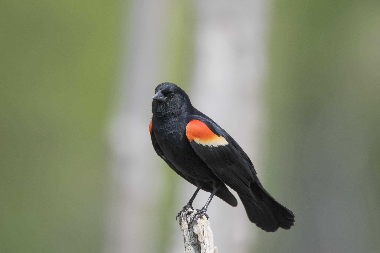 Images gratuites la nature branche oiseau faune for Oiseau bec rouge