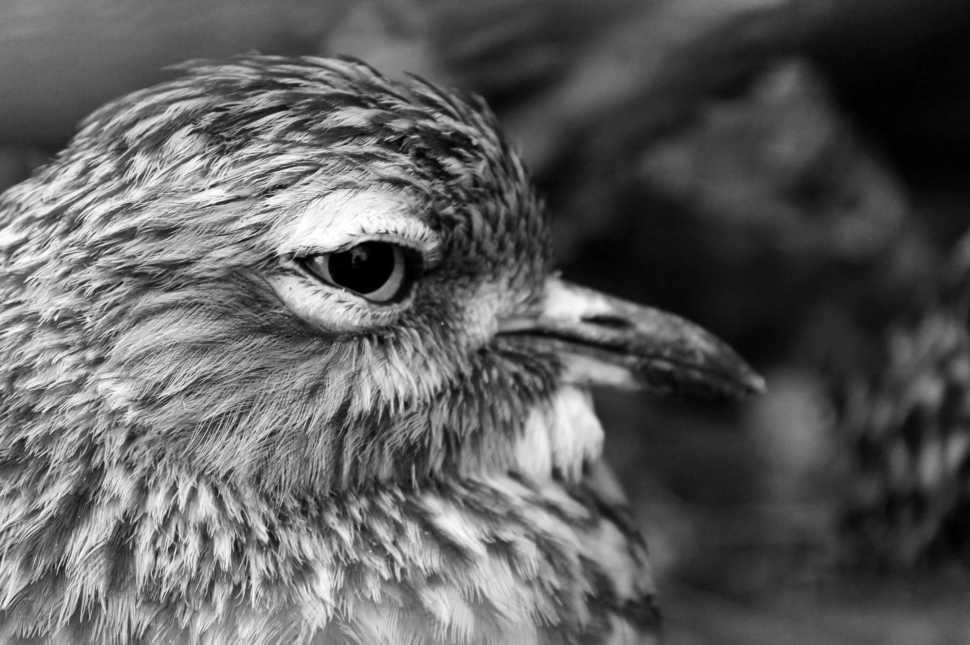 Nature branch bird wing black and white photography animal wildlife beak monochrome owl fauna bird of