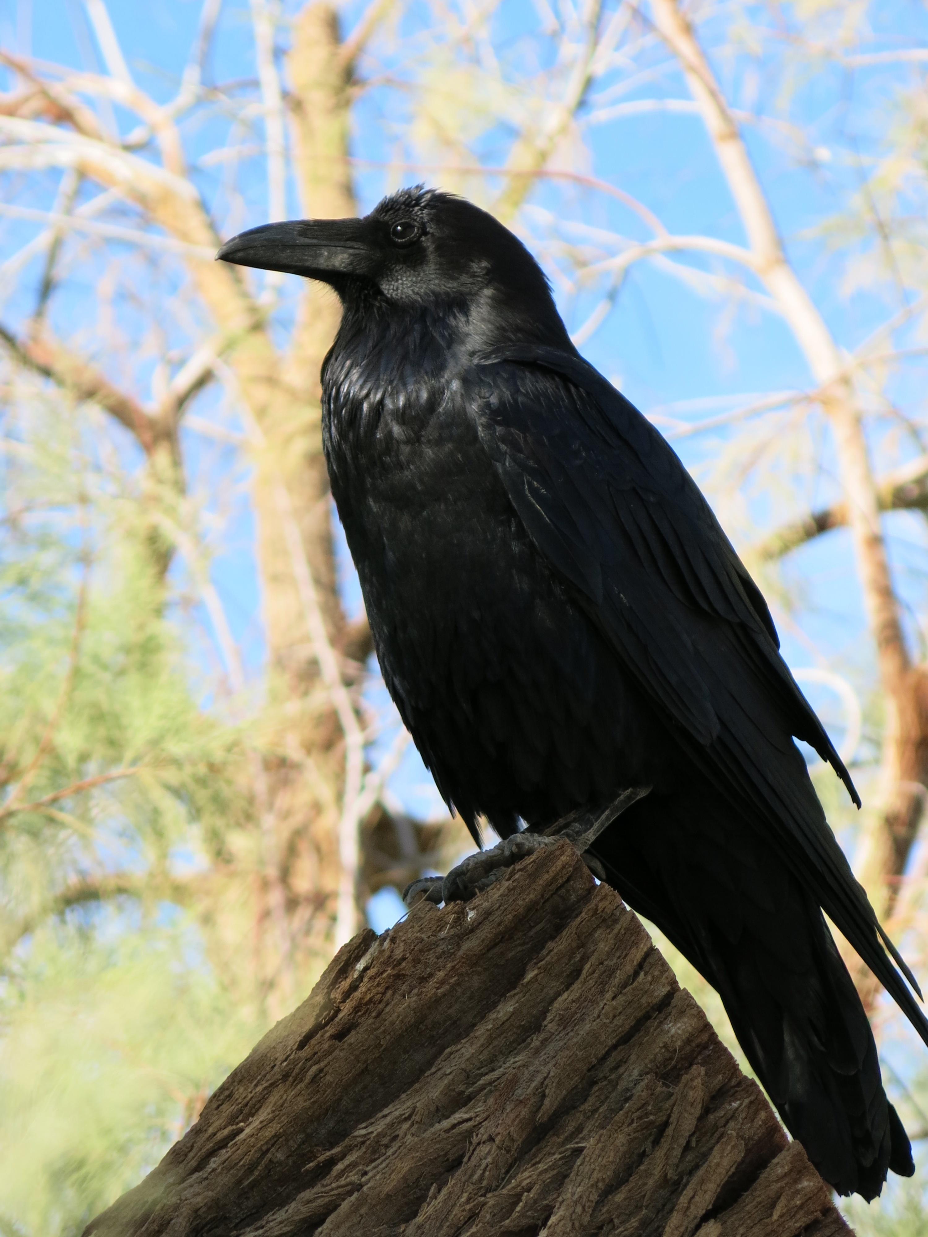картинки ворона темная