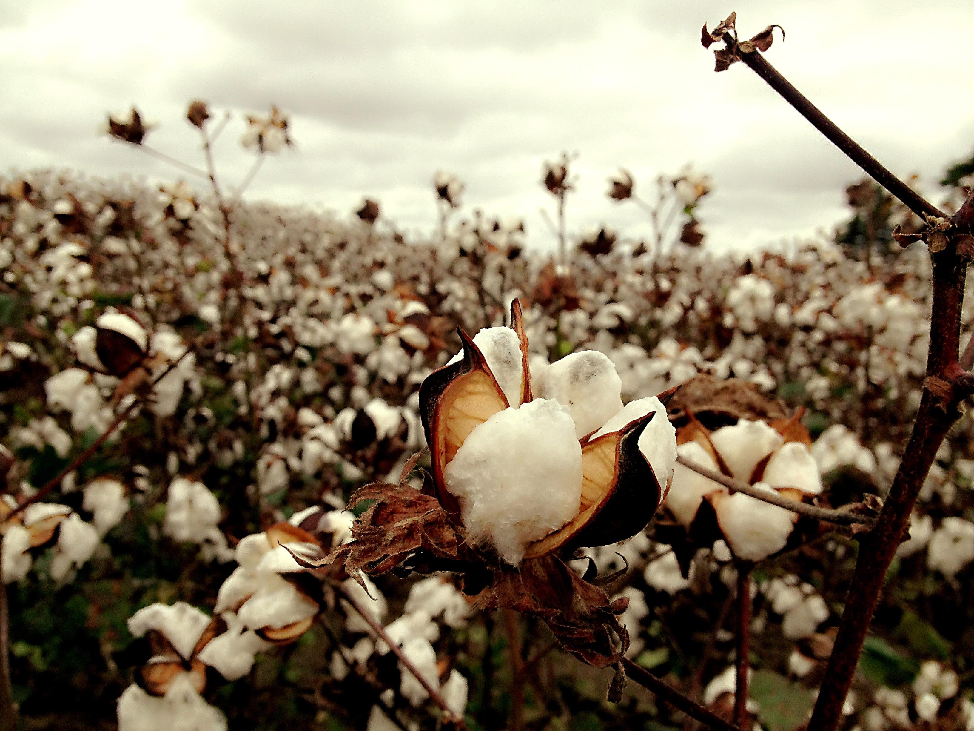 Branche Fleur De Coton images gratuites : la nature, branche, champ, feuille