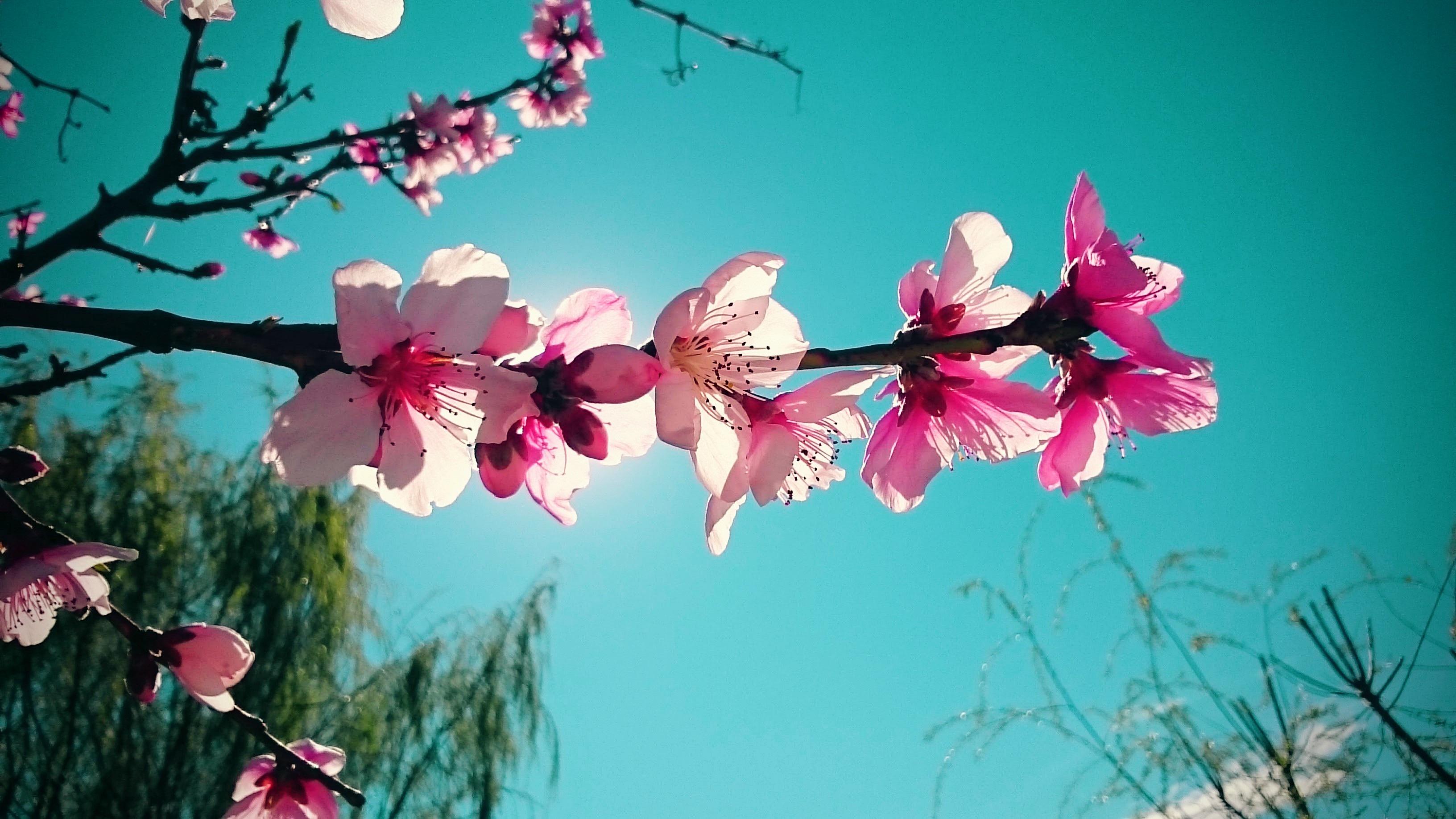 alam cabang mekar menanam bunga daun bunga musim semi kebebasan berwarna merah muda flora bunga sakura