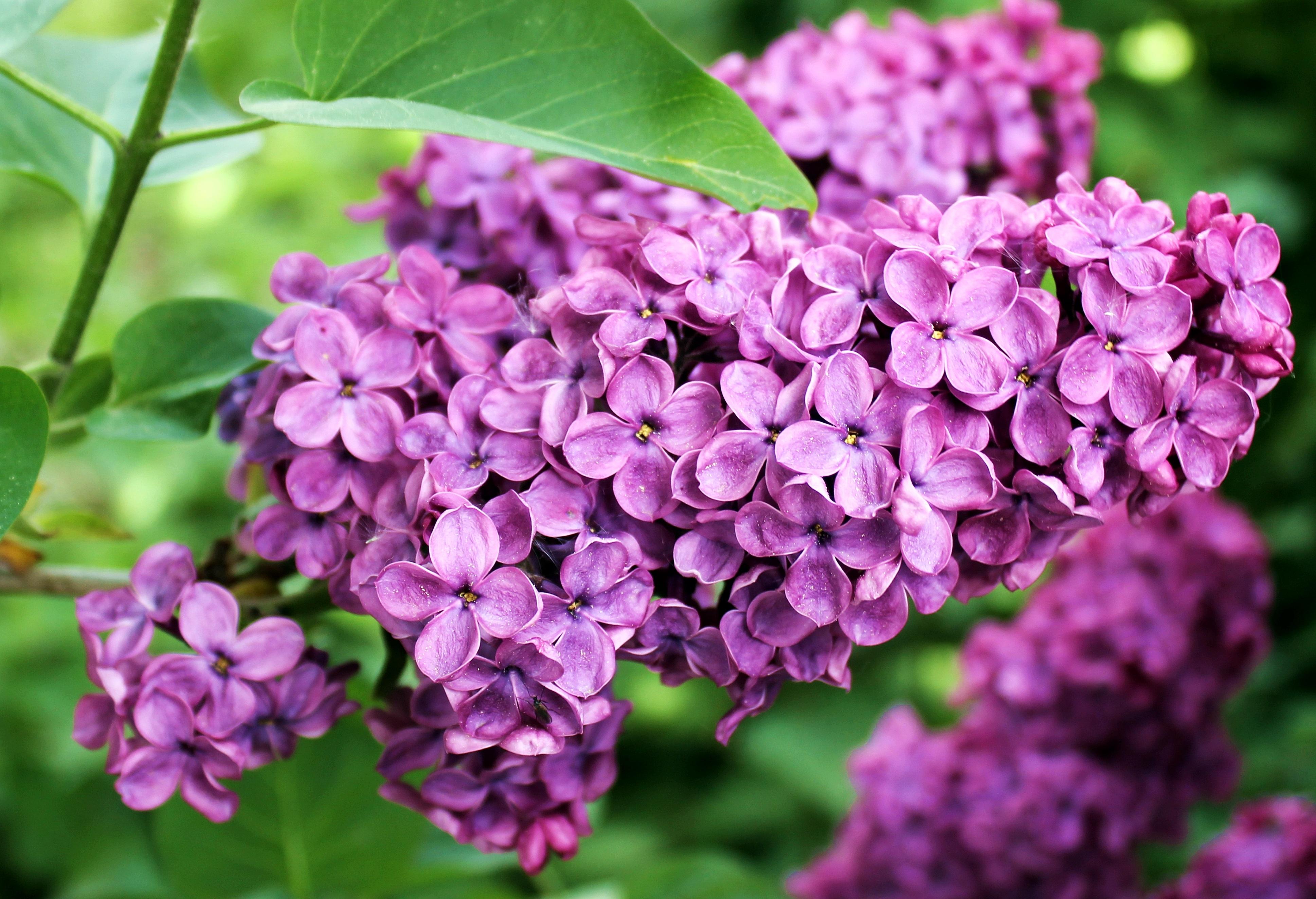 Albero Di Lillà immagini belle : natura, fiorire, fiore, viola, petalo