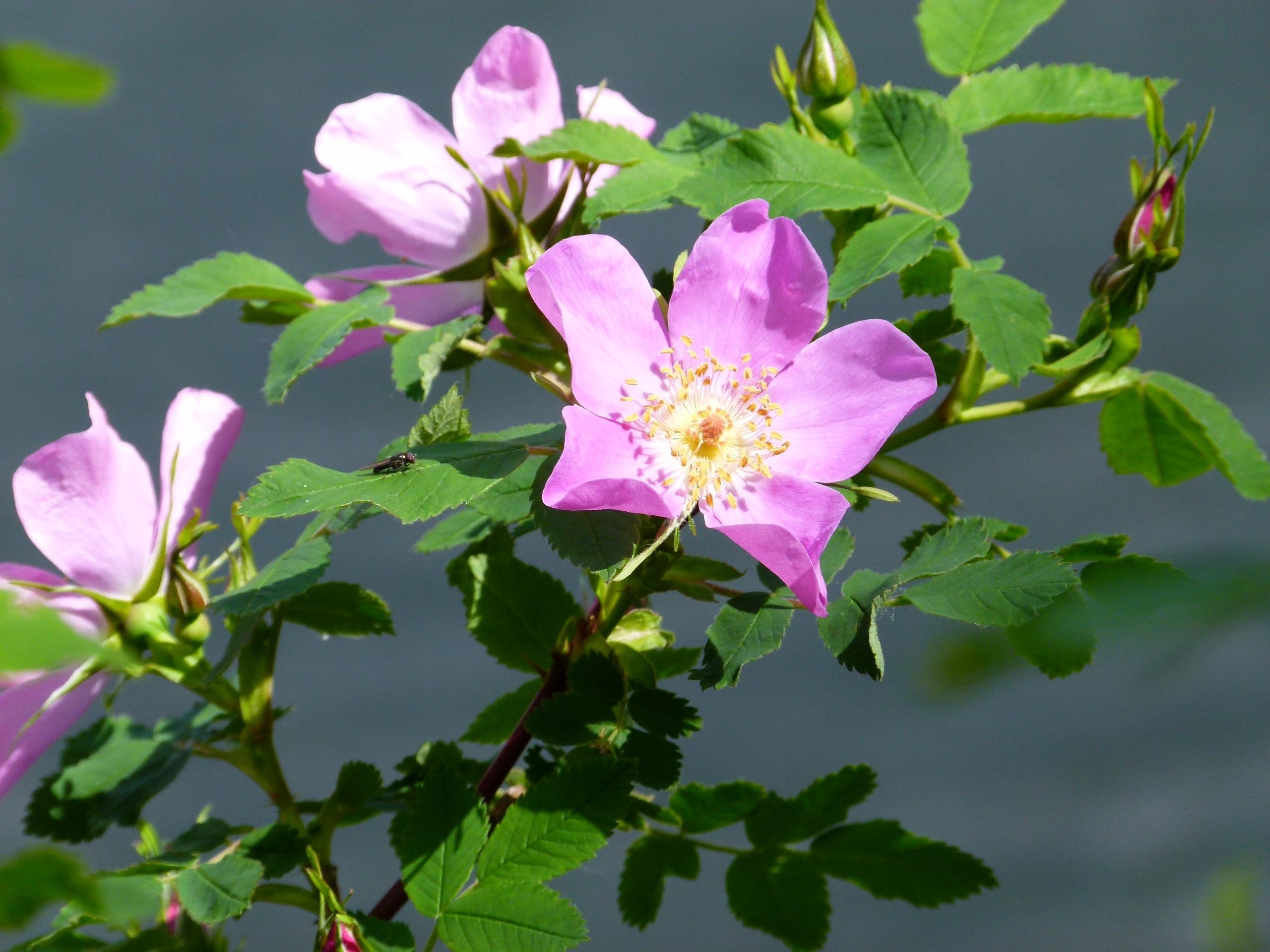 banco de imagens natureza ramo flor plantar folha flor ptala floral selvagem botnica flora flores silvestres arbusto rosa canina