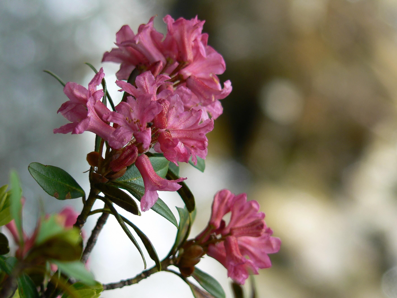 banco de imagens natureza ramo plantar folha flor ptala vero botnica rosa flora flores silvestres flores alpes arbusto rododendro