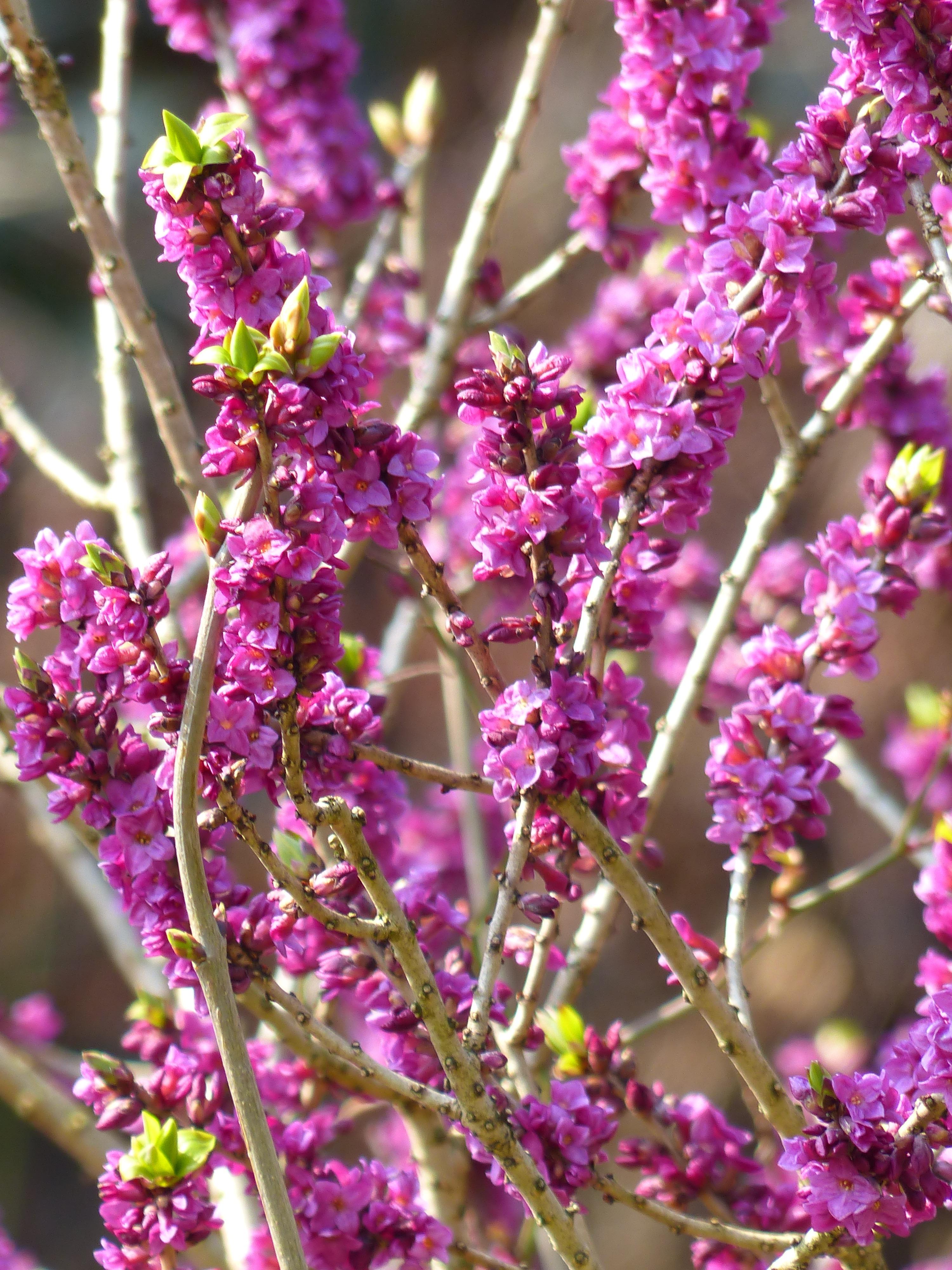 banco de imagens natureza ramo flor plantar folha flor roxa primavera erva produzir botnica jardim flora flores silvestres arbusto tolet