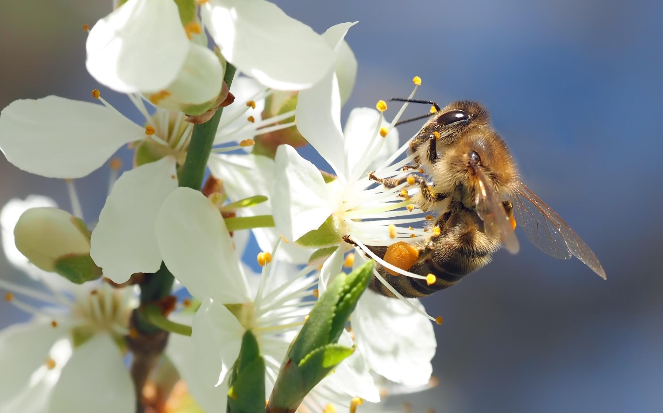 Пчелы на цветущей черешне картинки