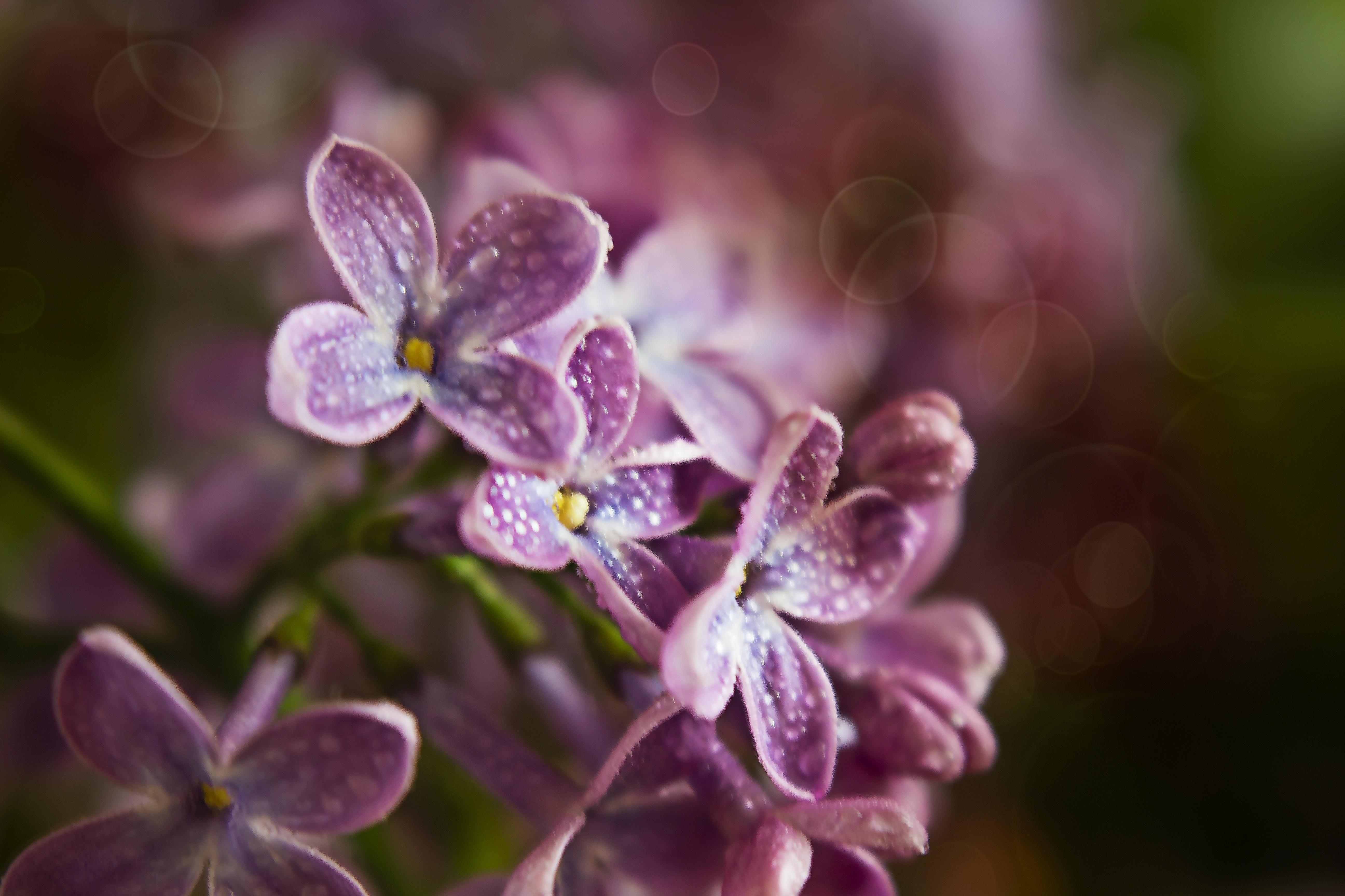 fond d'ecran gratuit lilas blanc