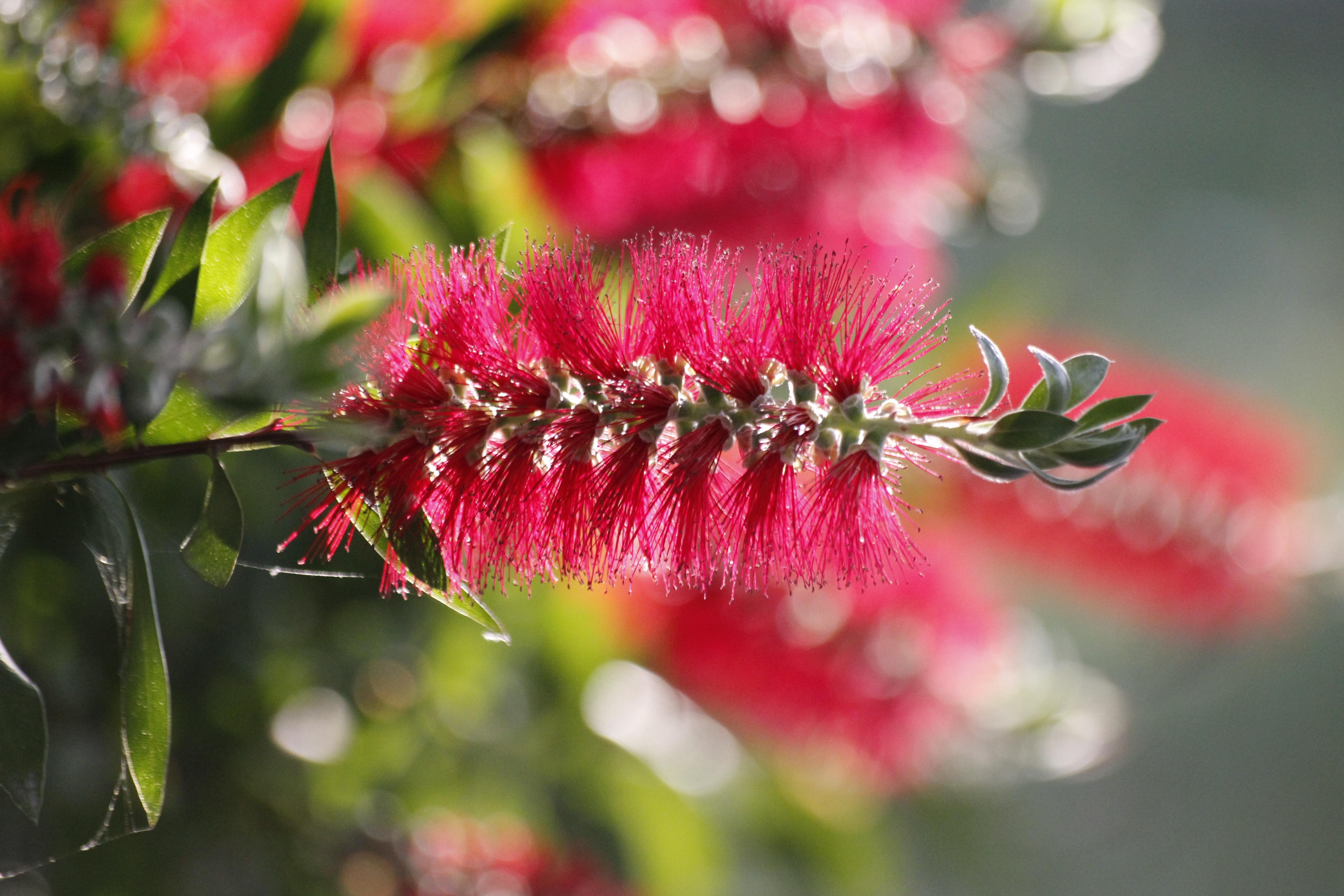 free images : nature, branch, blossom, leaf, petal, botany, pink