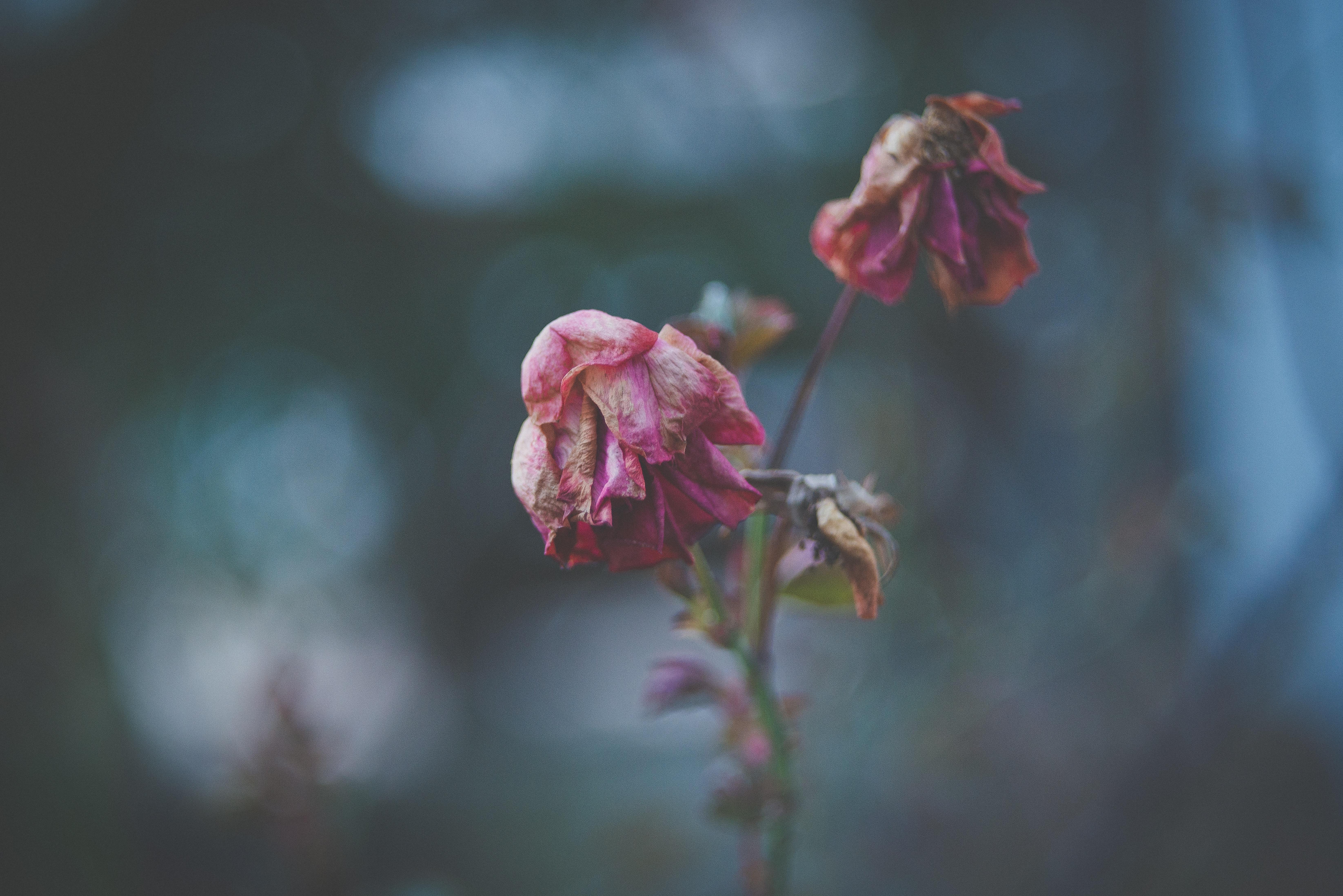 Gambar Alam Cabang Mekar Menanam Daun Bunga Mawar Musim