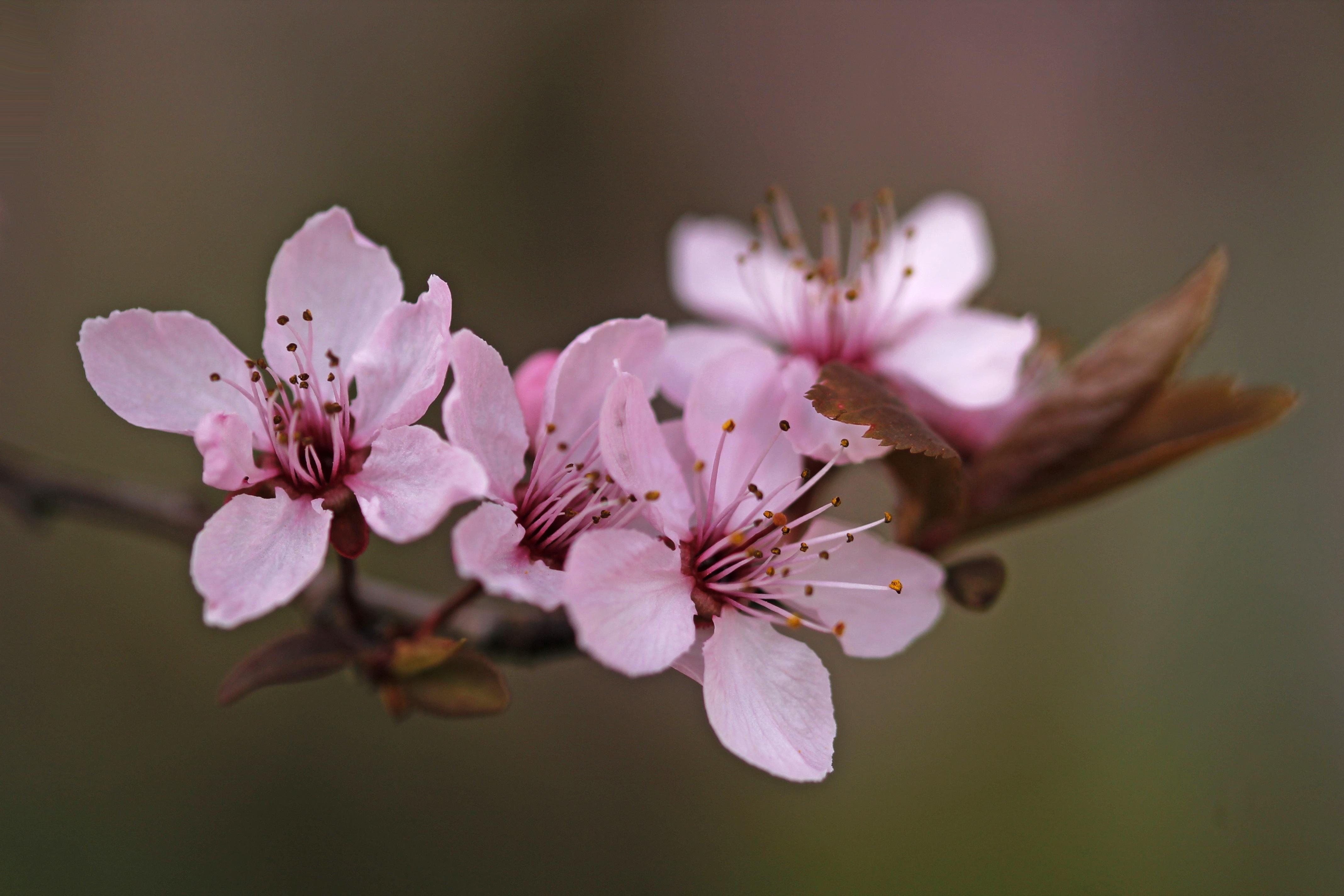 ветка цветущей вишни фото обычай