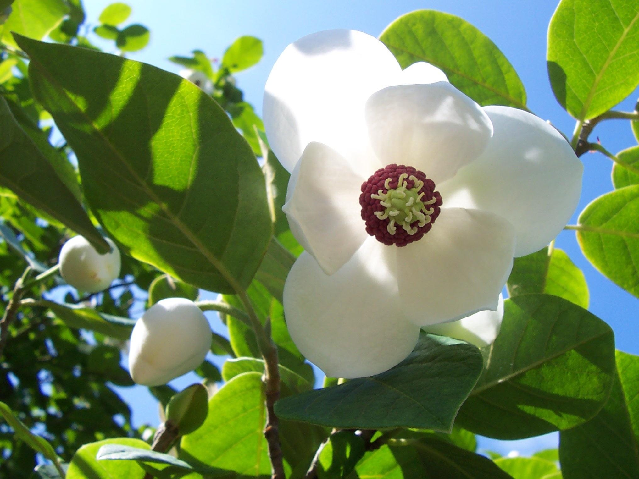 Unduh 72 Gambar Daun Bunga Raya Putih HD Gratid