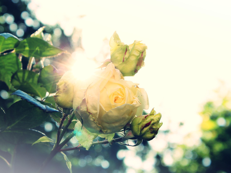 помощью специального розы в лучах солнца картинки разочаровываемся людях