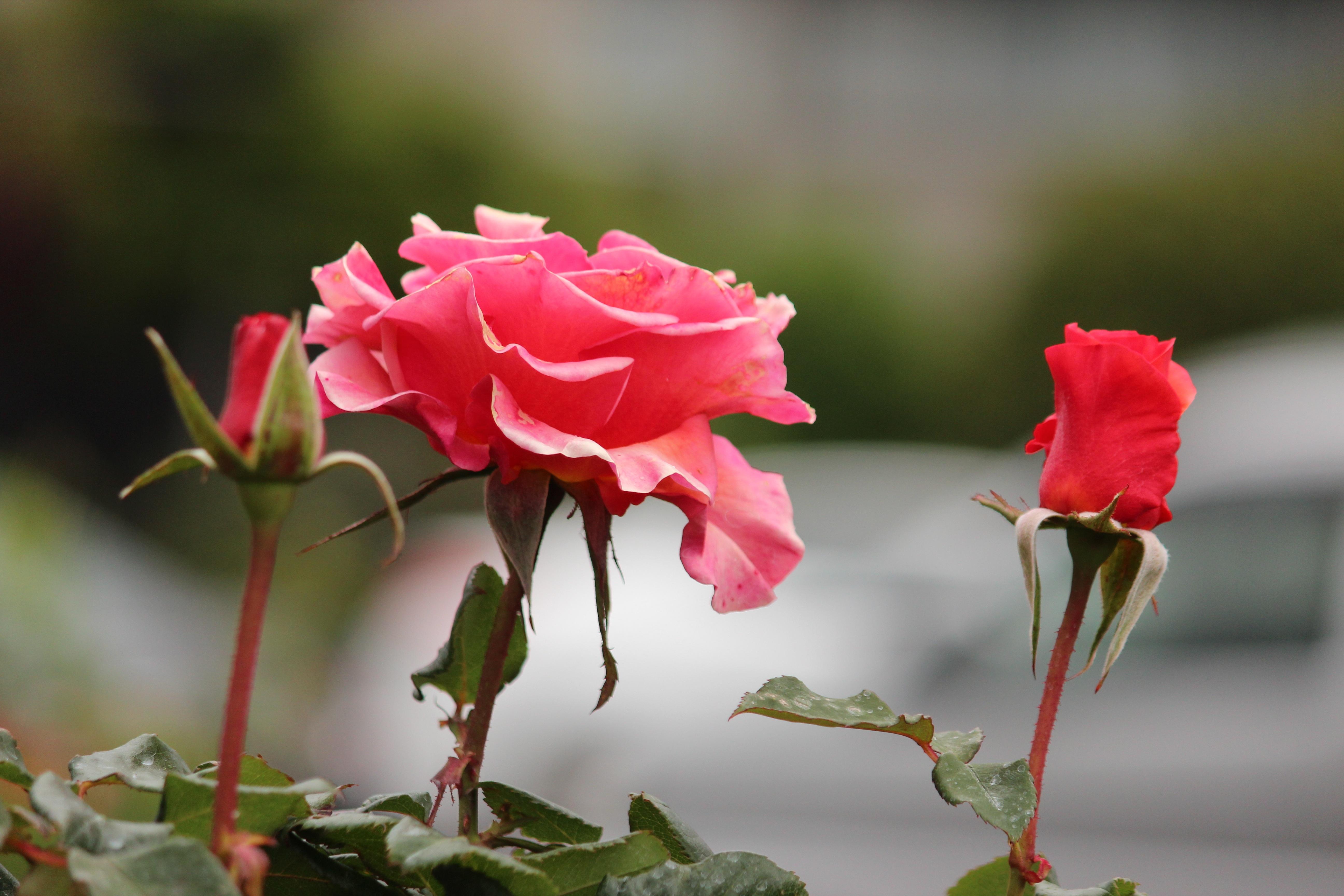 images gratuites : la nature, branche, fleur, tige, pétale