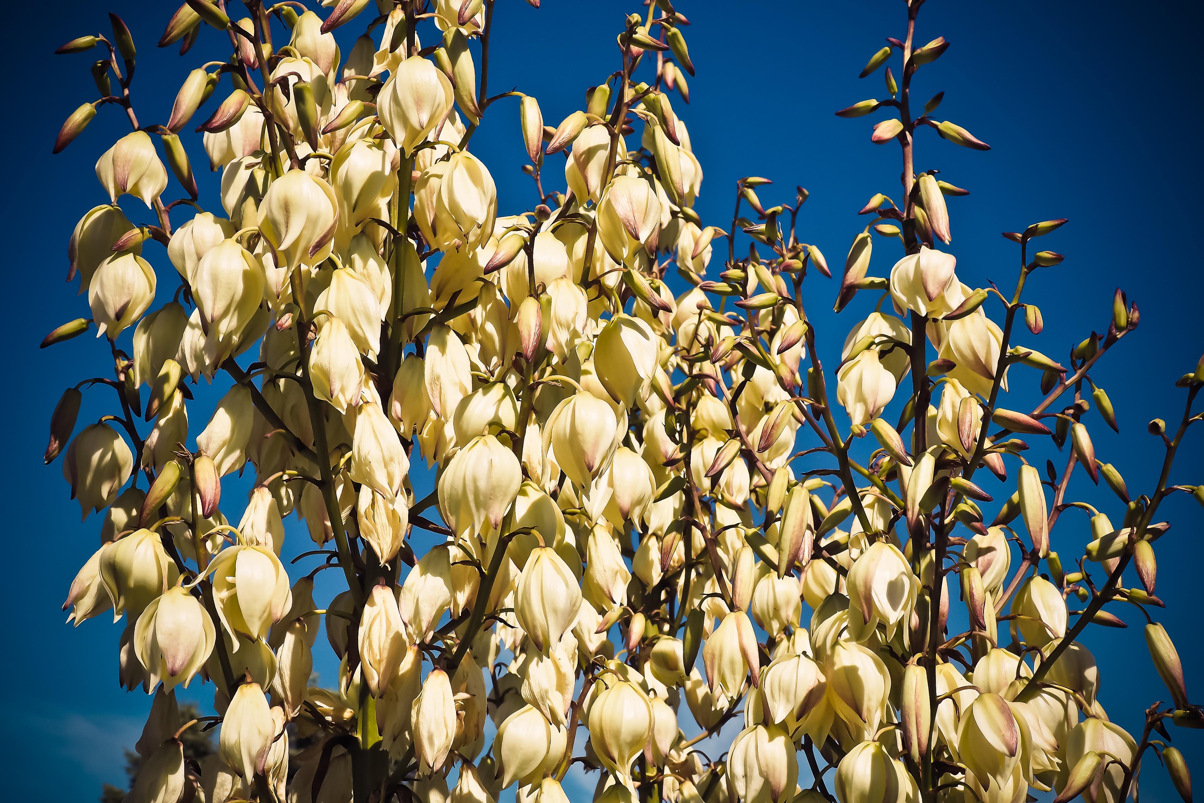 Пальма цветет белыми цветами