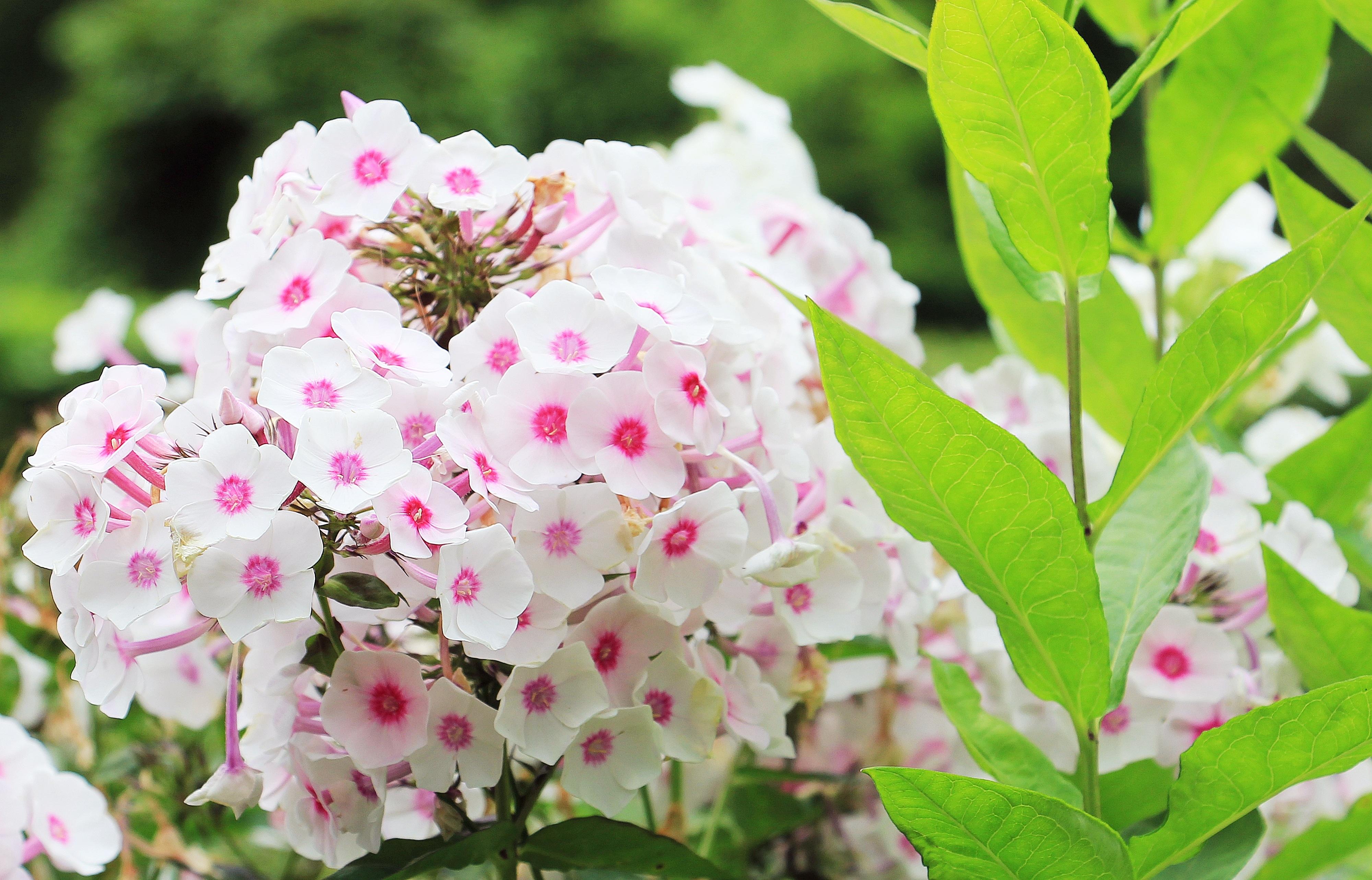 Fotos gratis naturaleza rama blanco p talo florecer for Planta ornamental blanca nieves