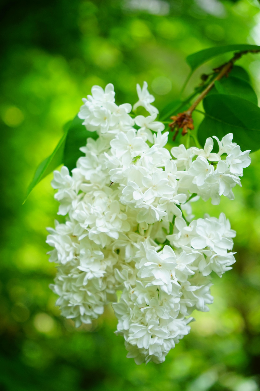 Free Images Nature Branch Blossom White Leaf Flower