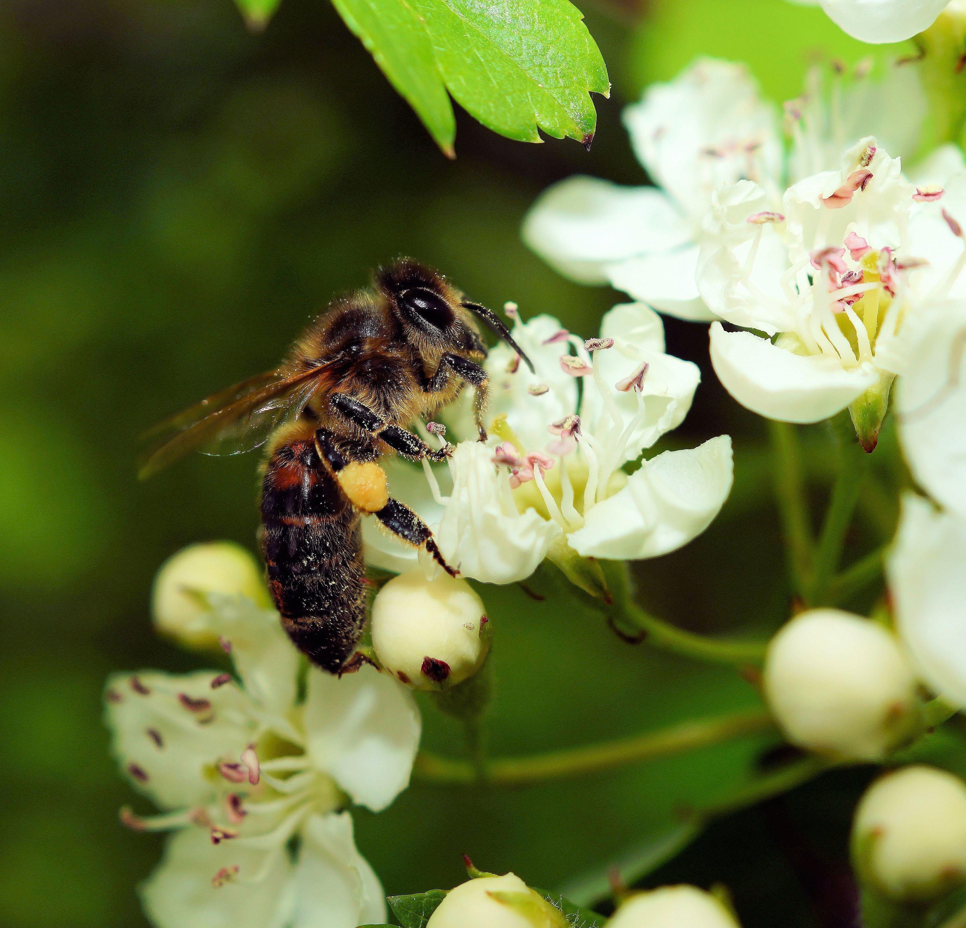 Картинка пчела на цветке яблони