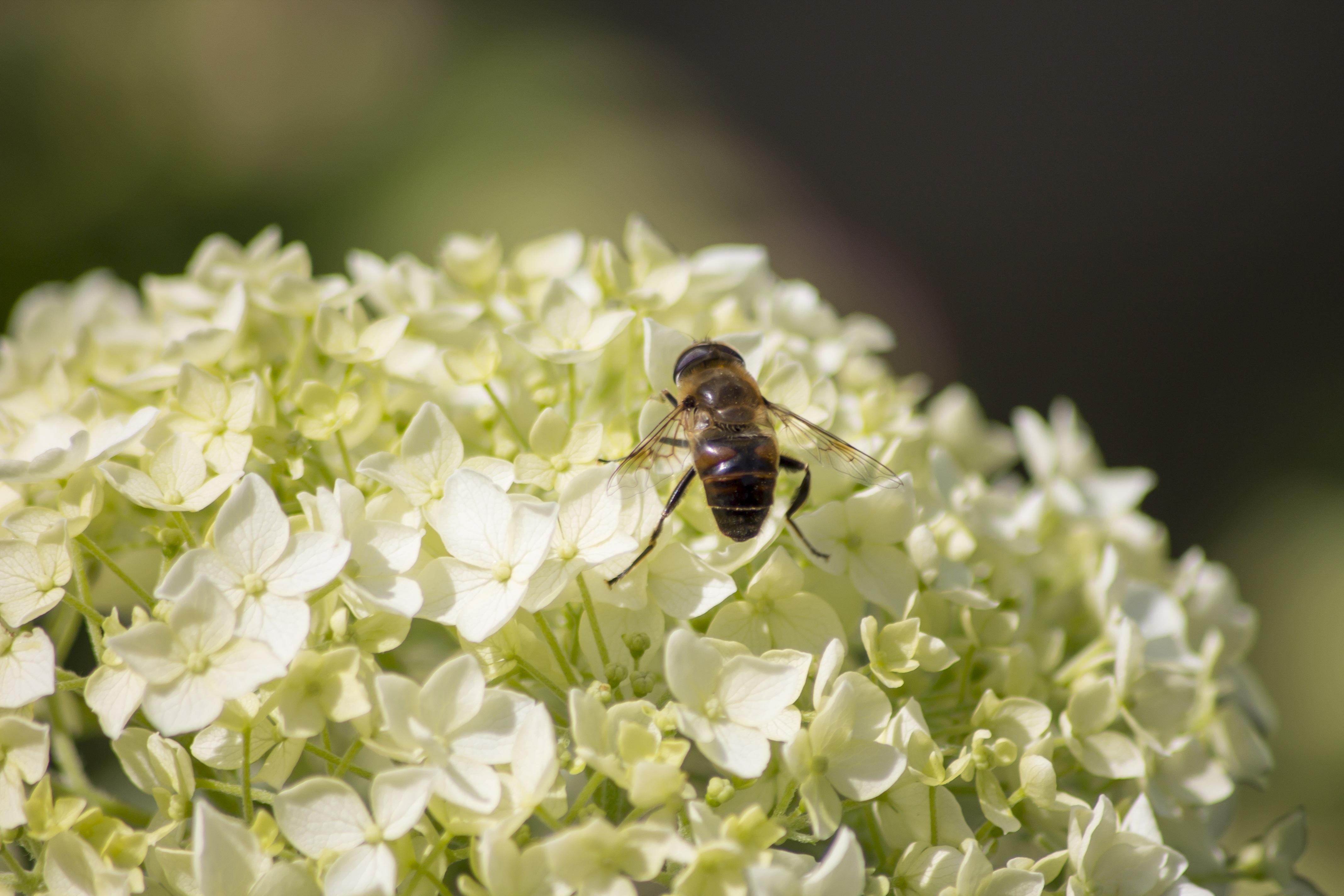 Free Images Nature Branch Blossom Plant White Flower Petal Bloom Fly Pollen Spring Green Spray Bug Botany Garden Flora Hydrangea Fauna