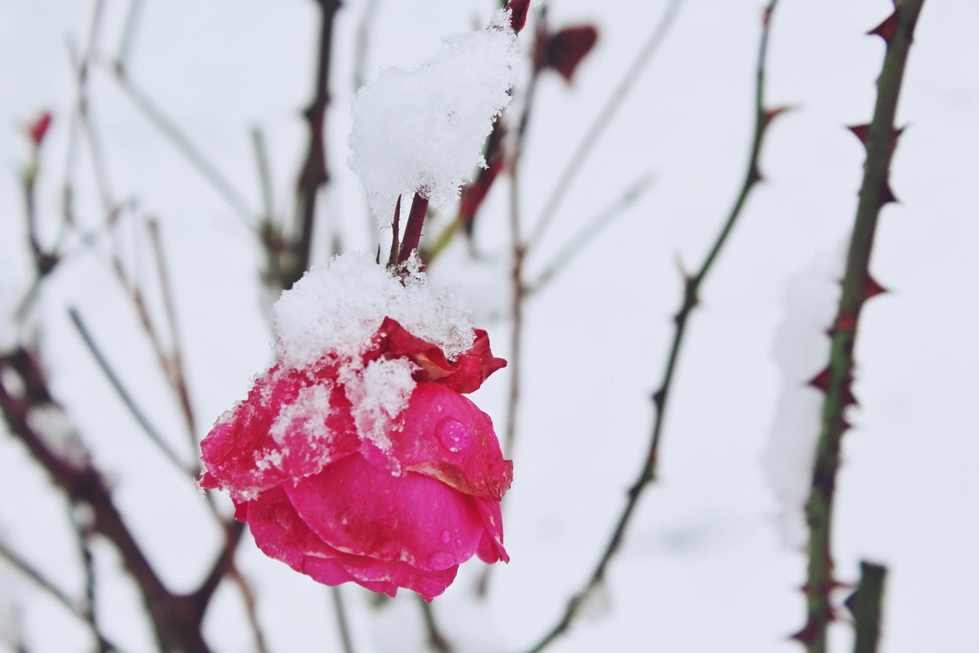 Тему, цветы на снегу картинки с подписями
