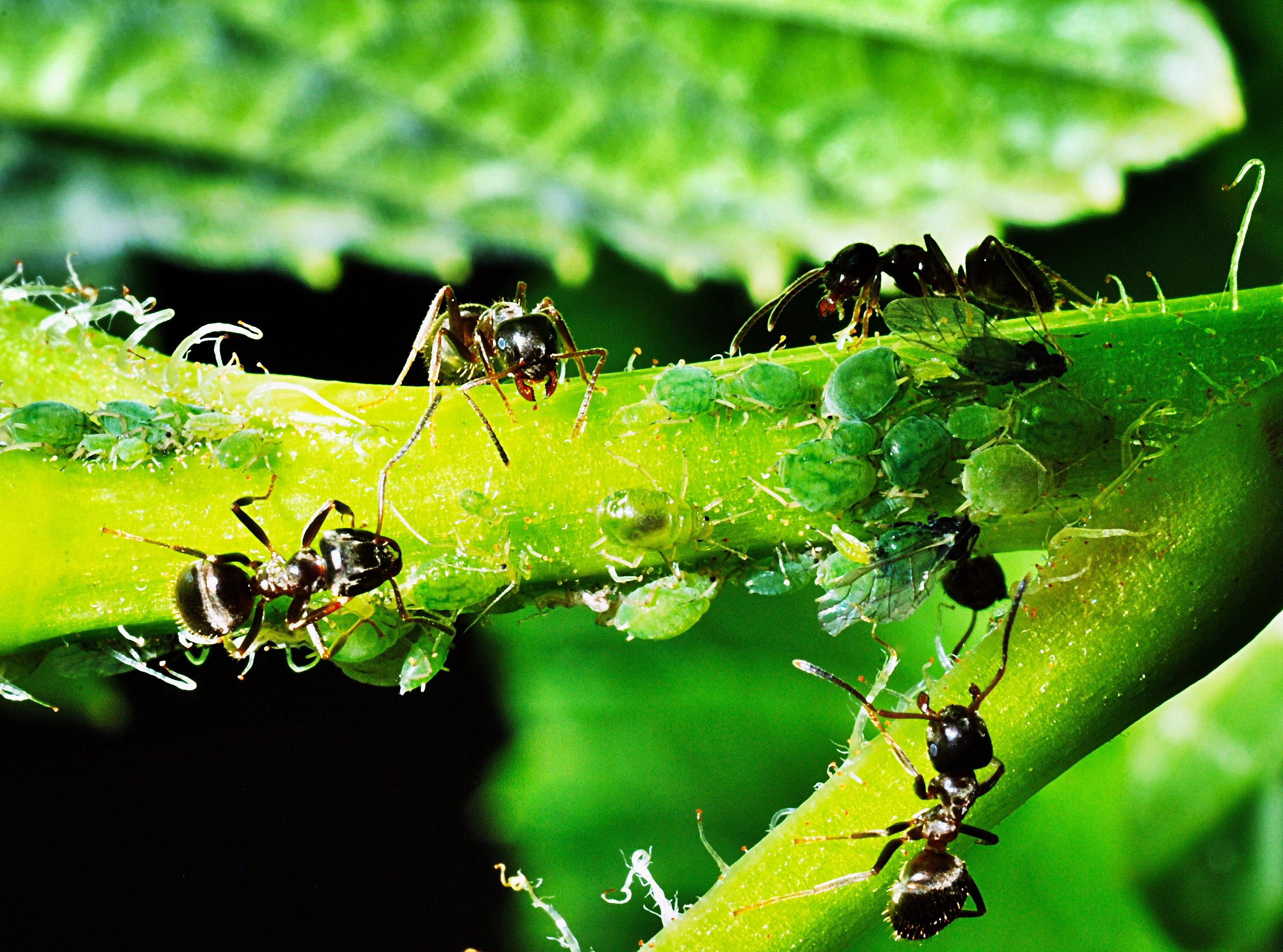 Картинки муравей и тля