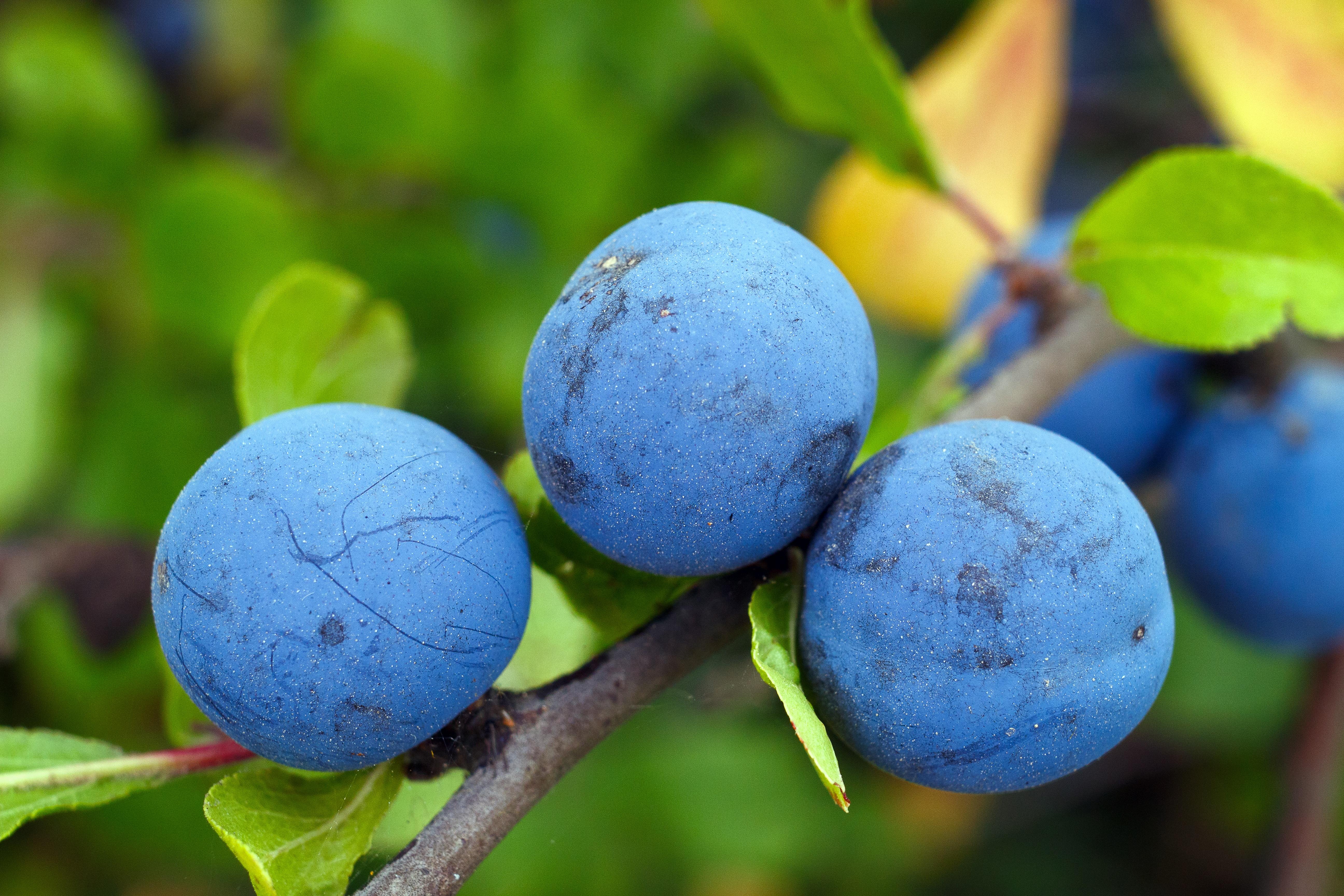 Голубые ягоды картинки