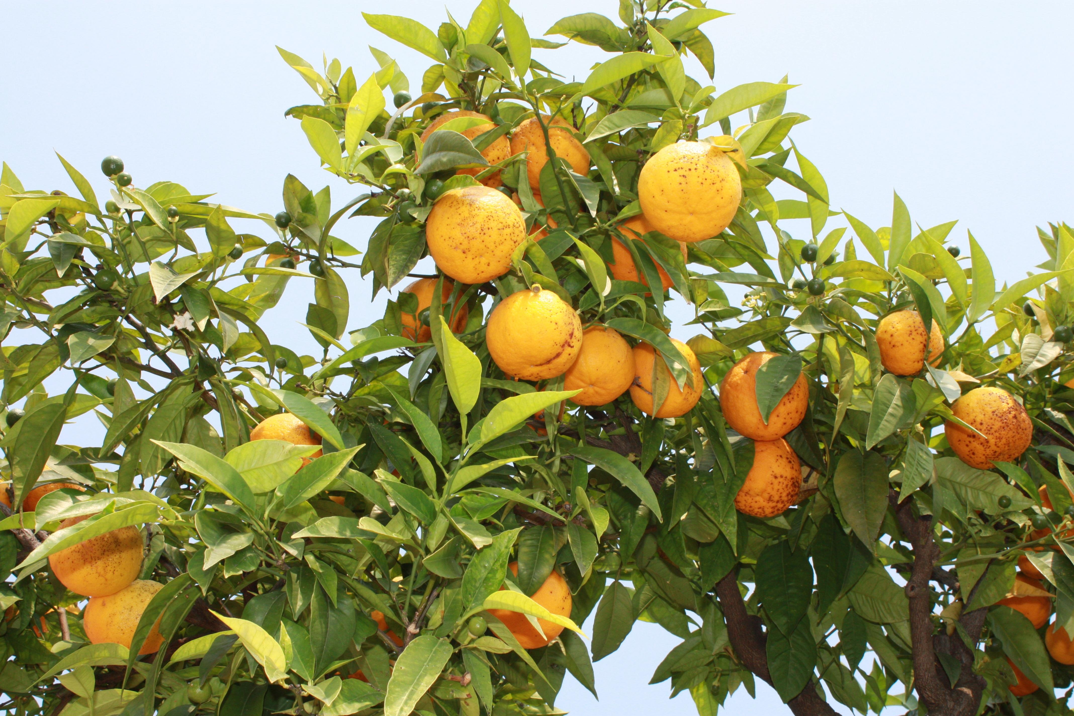 Images gratuites la nature branche fruit fleur for Plante orange