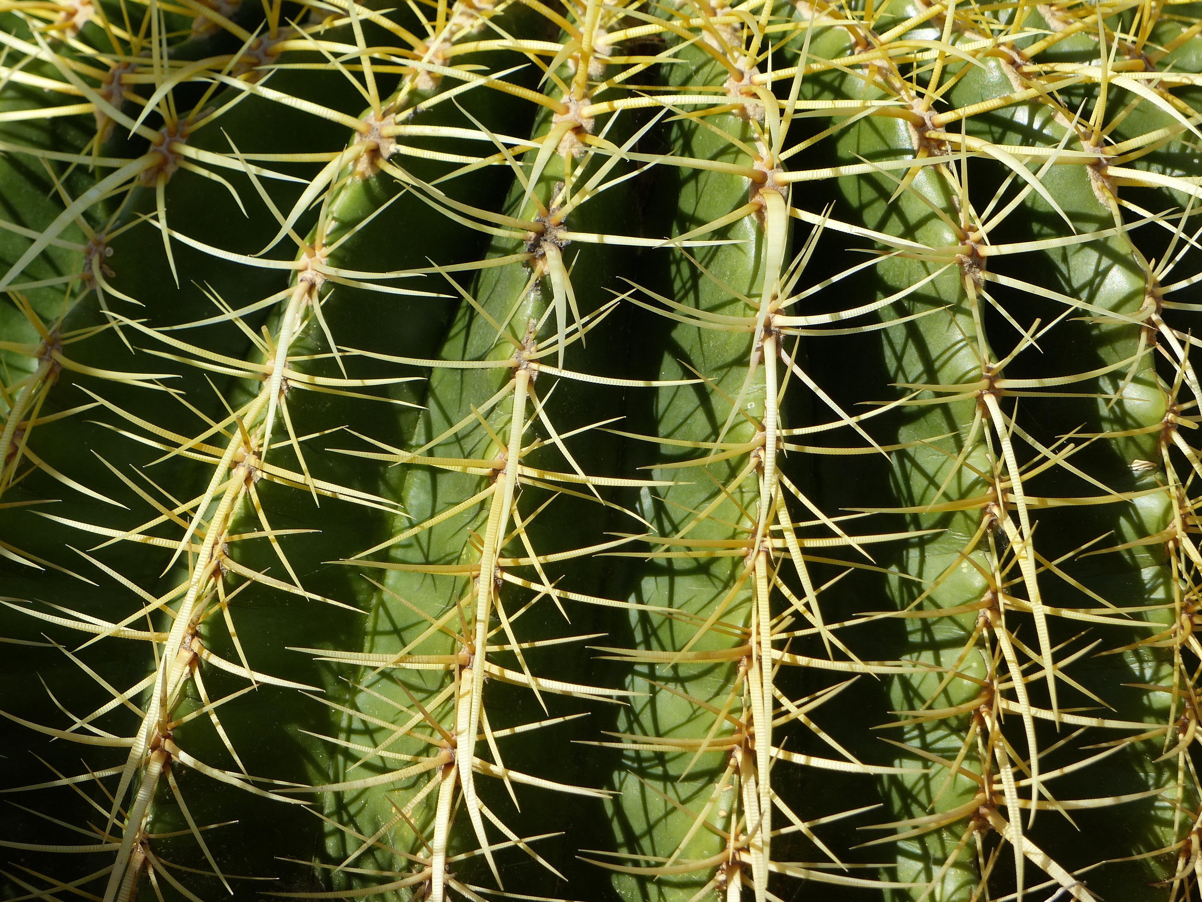 images gratuites la nature cactus d sert pine vert naturel botanique flore v g tation. Black Bedroom Furniture Sets. Home Design Ideas