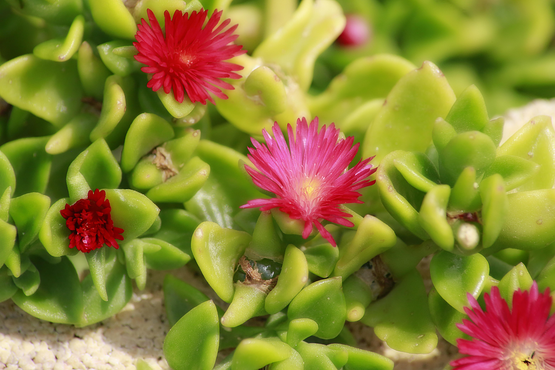 Nature Cactus Plant Flower Petal Macro Botany Pink Flora Wild Flowers Pigface Outside Flowering Photography