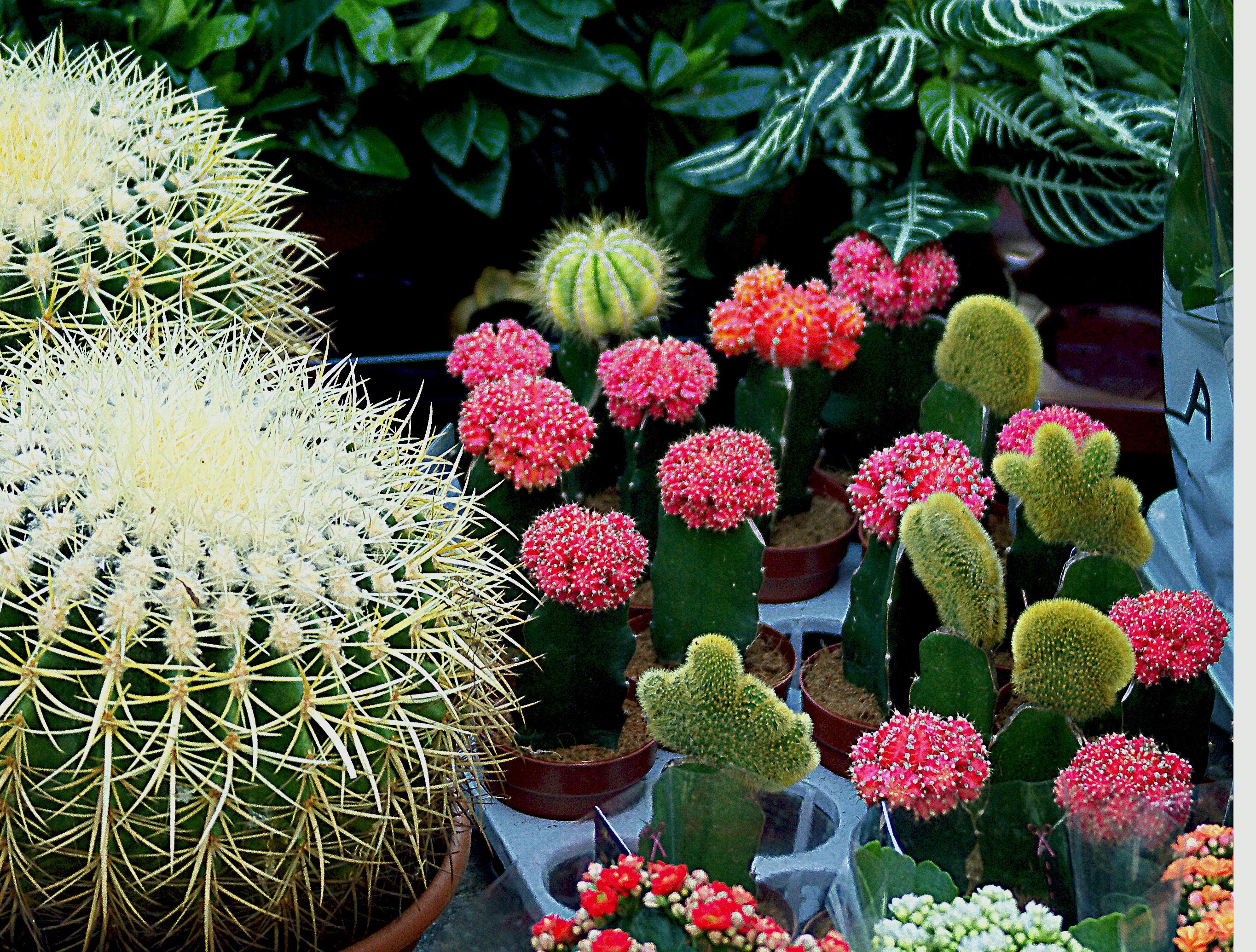 Free Images : nature, cactus, white, flower, food, produce, botany ...