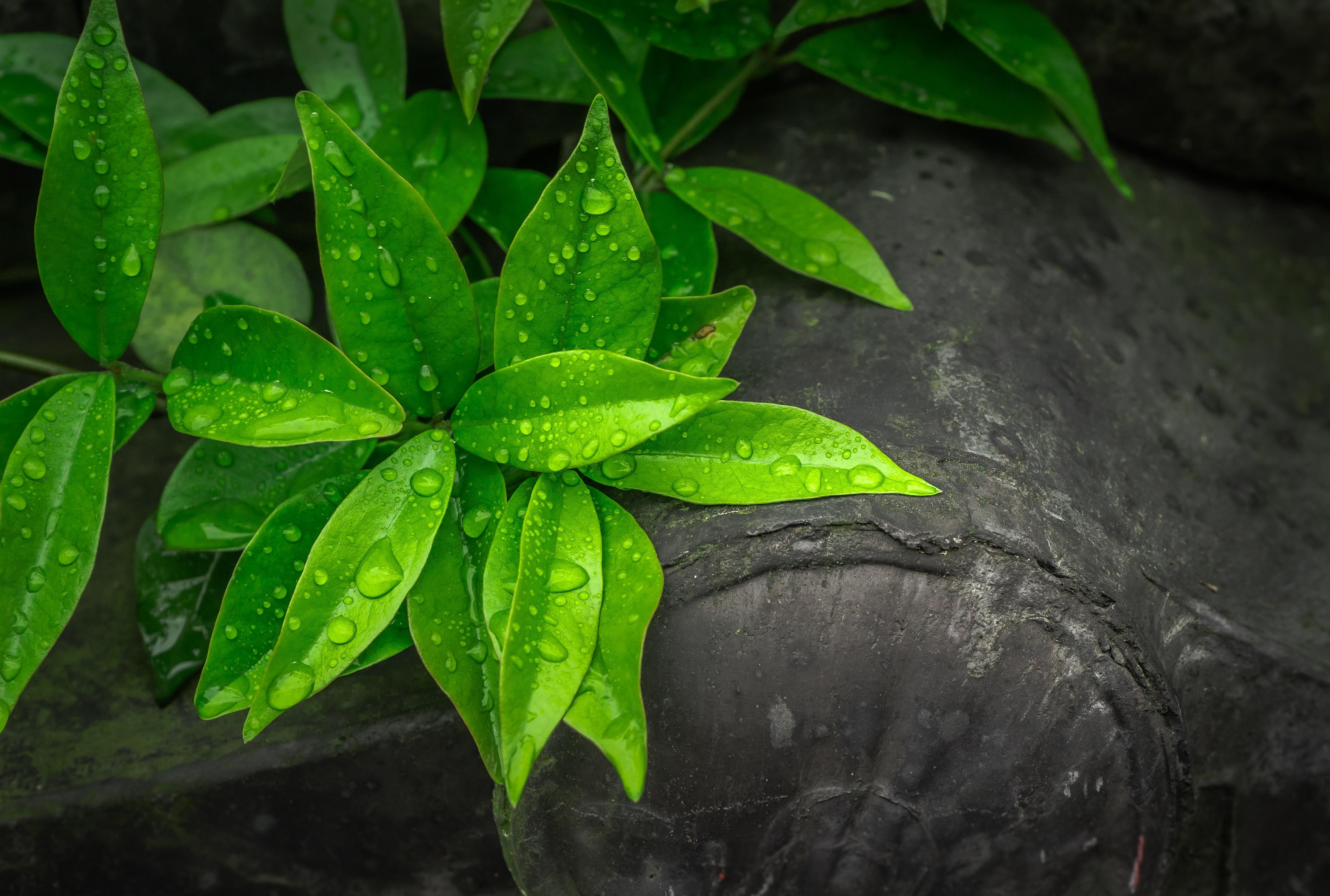 Images gratuites la nature ros e abstrait plante for Plante 7 feuilles