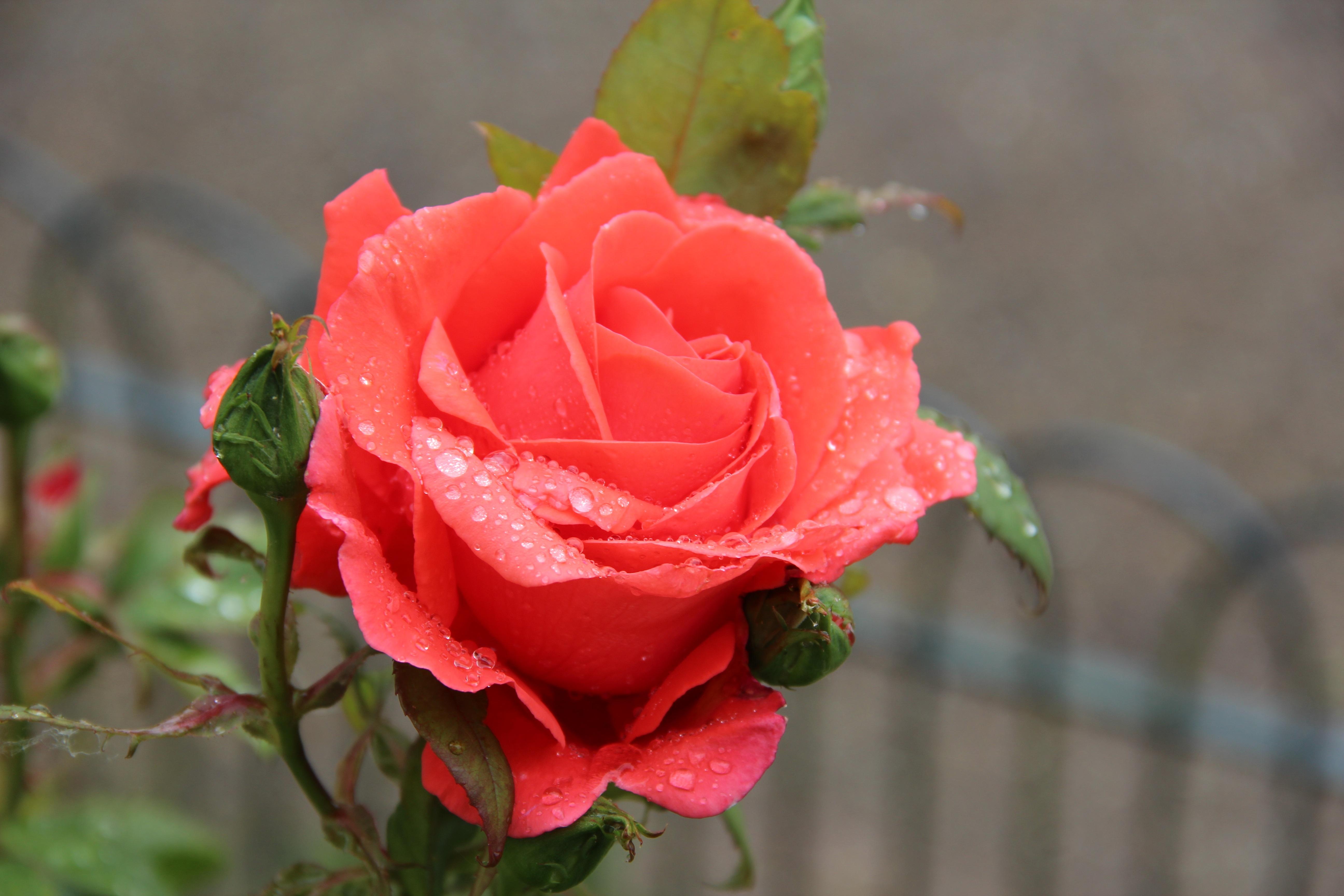 через красивые фото большие розы с росой язык один официальных