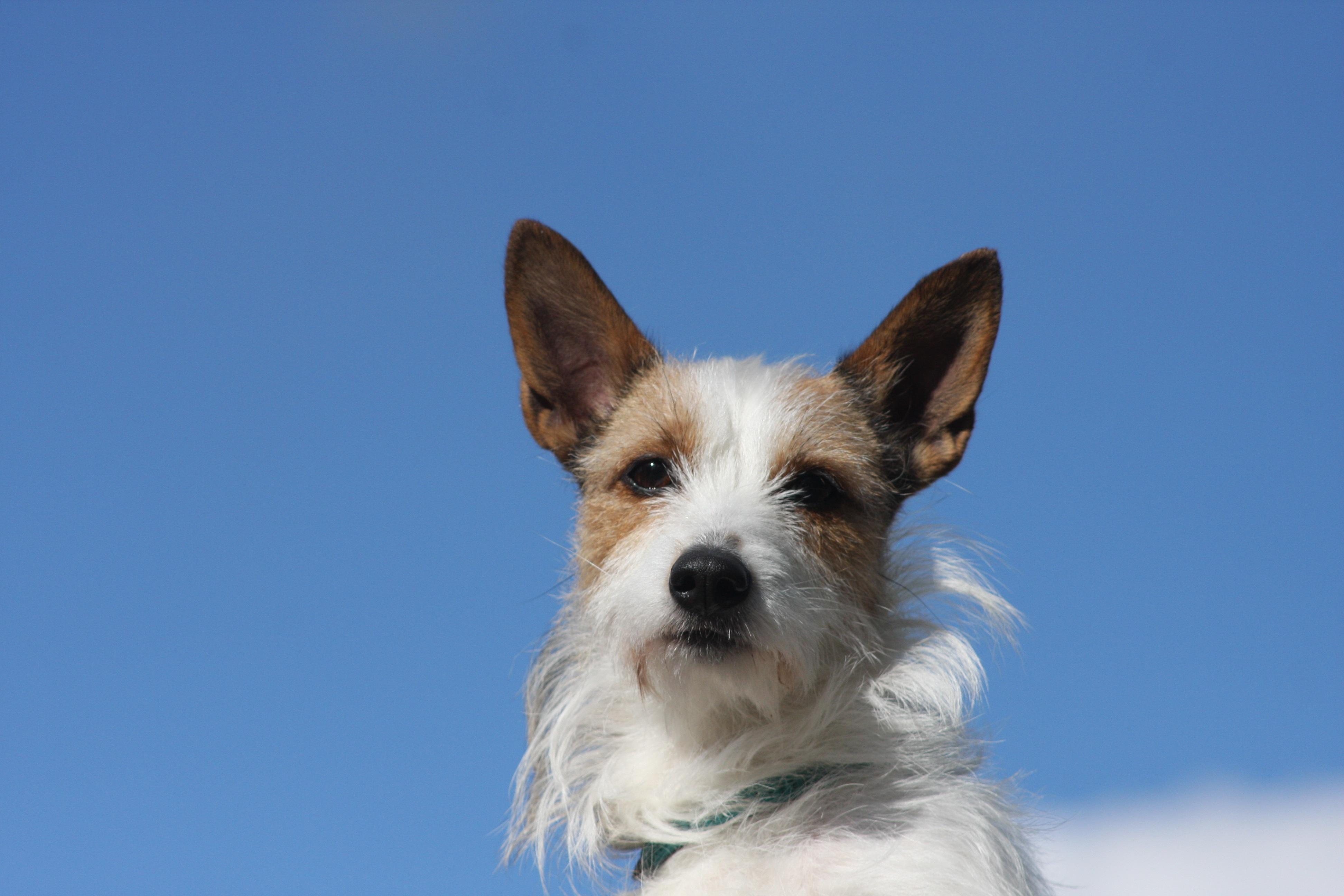 Free Images : nature, animal, blue sky, pets, vertebrate, dog breed ...