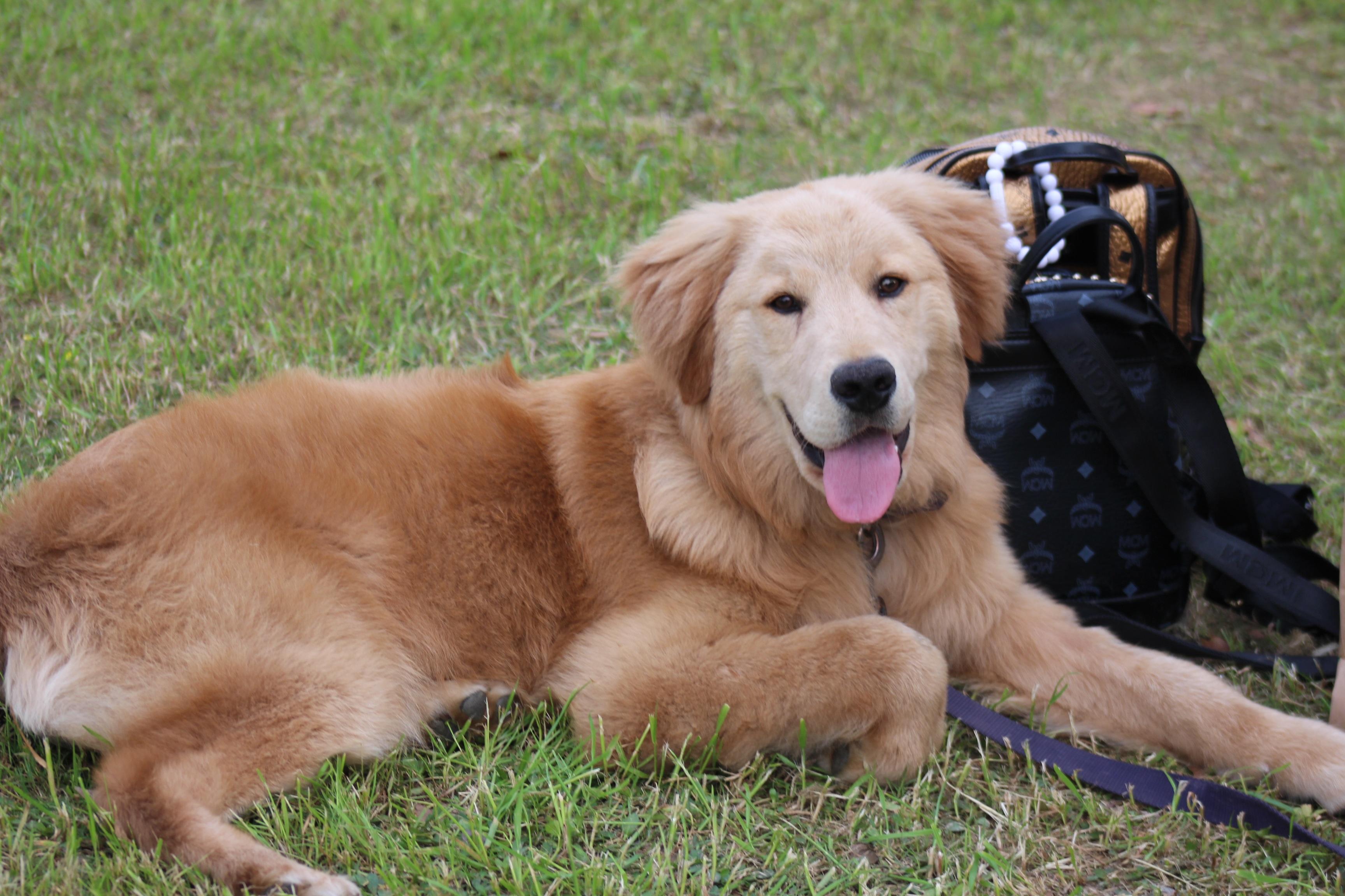 Kleurplaat Hond Golden Retriever Idee 235 N Over Kleurpagina