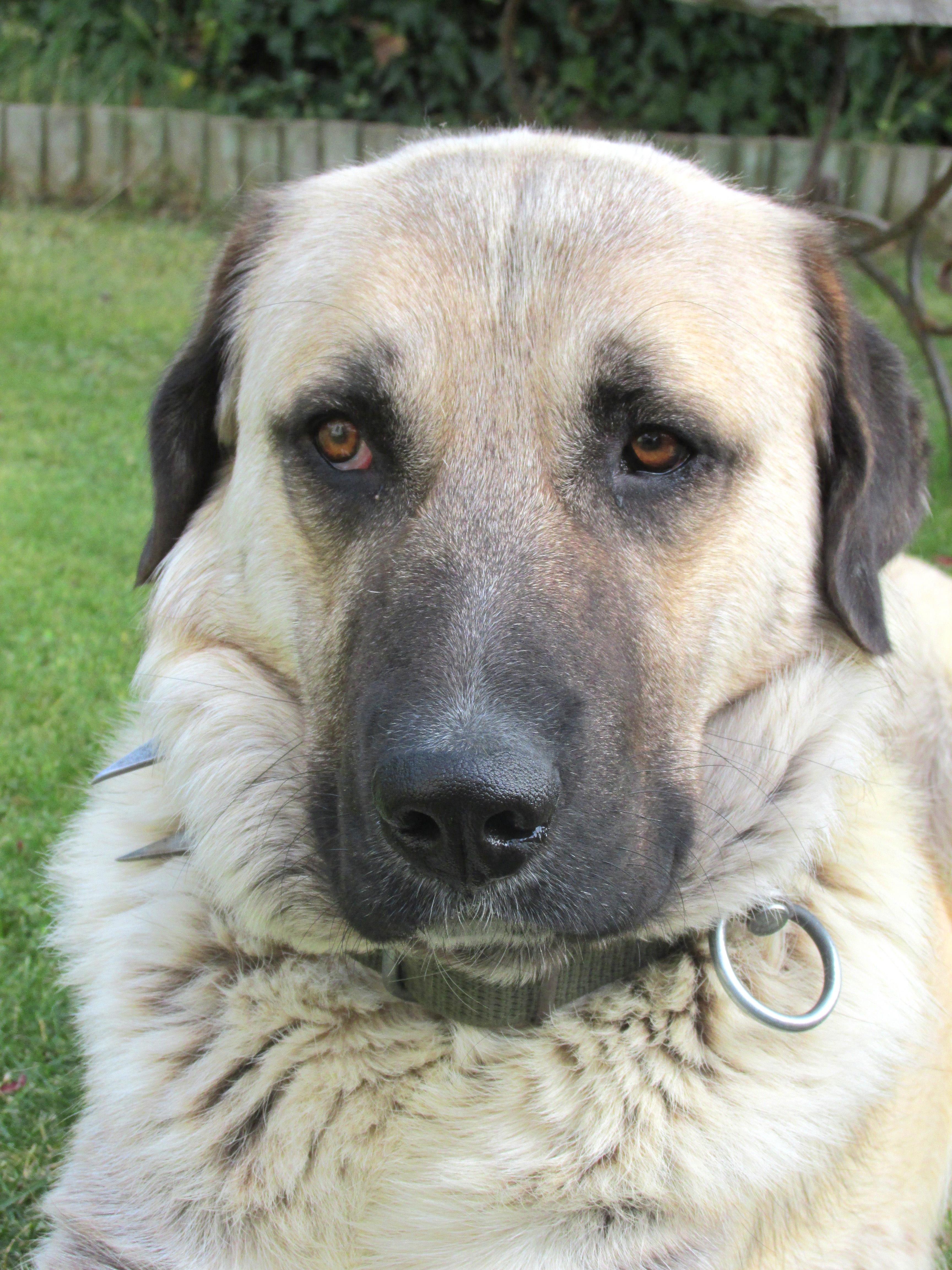 Çin Çoban Köpeği. Ne tür bir cins