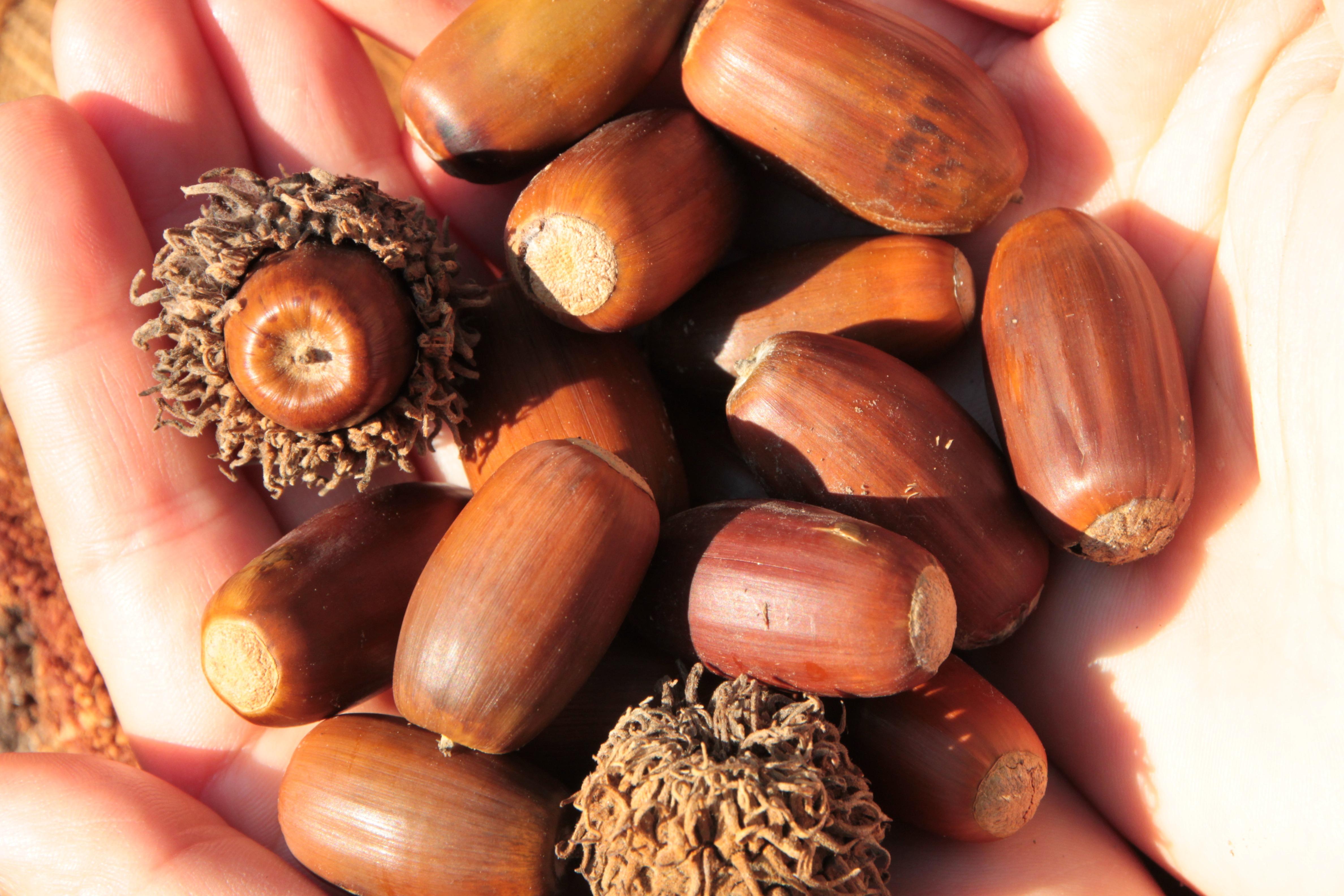 hình ảnh : thiên nhiên, ngã, món ăn, Sản xuất, rau, cây, dừa, gỗ, Cây sồi,  Acorns, Quả dâm hạch, hạt dẻ, thực vật có hoa, củ hẹ, Nhà máy đất, ...
