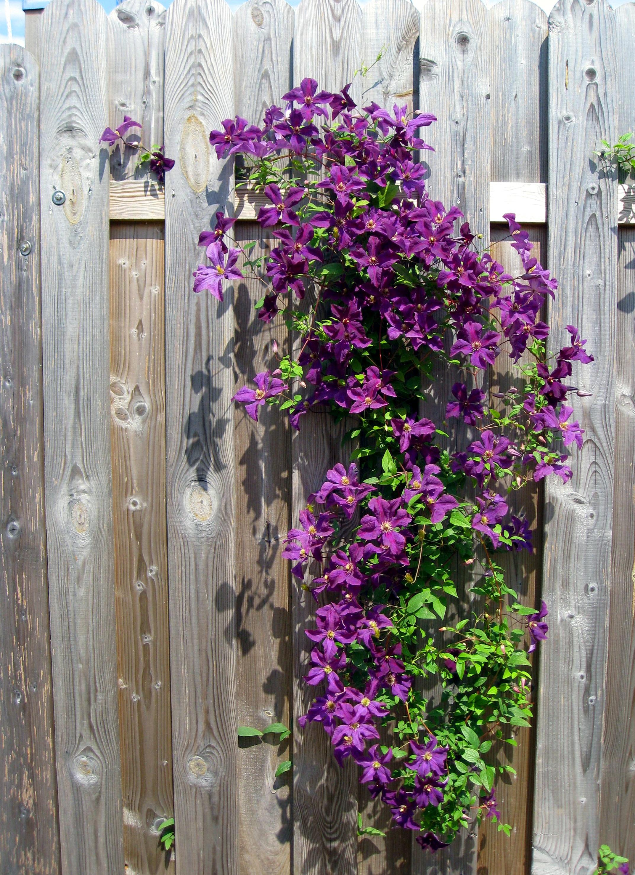 Kostenlose foto Natur Zaun Blume lila blühen Fenster