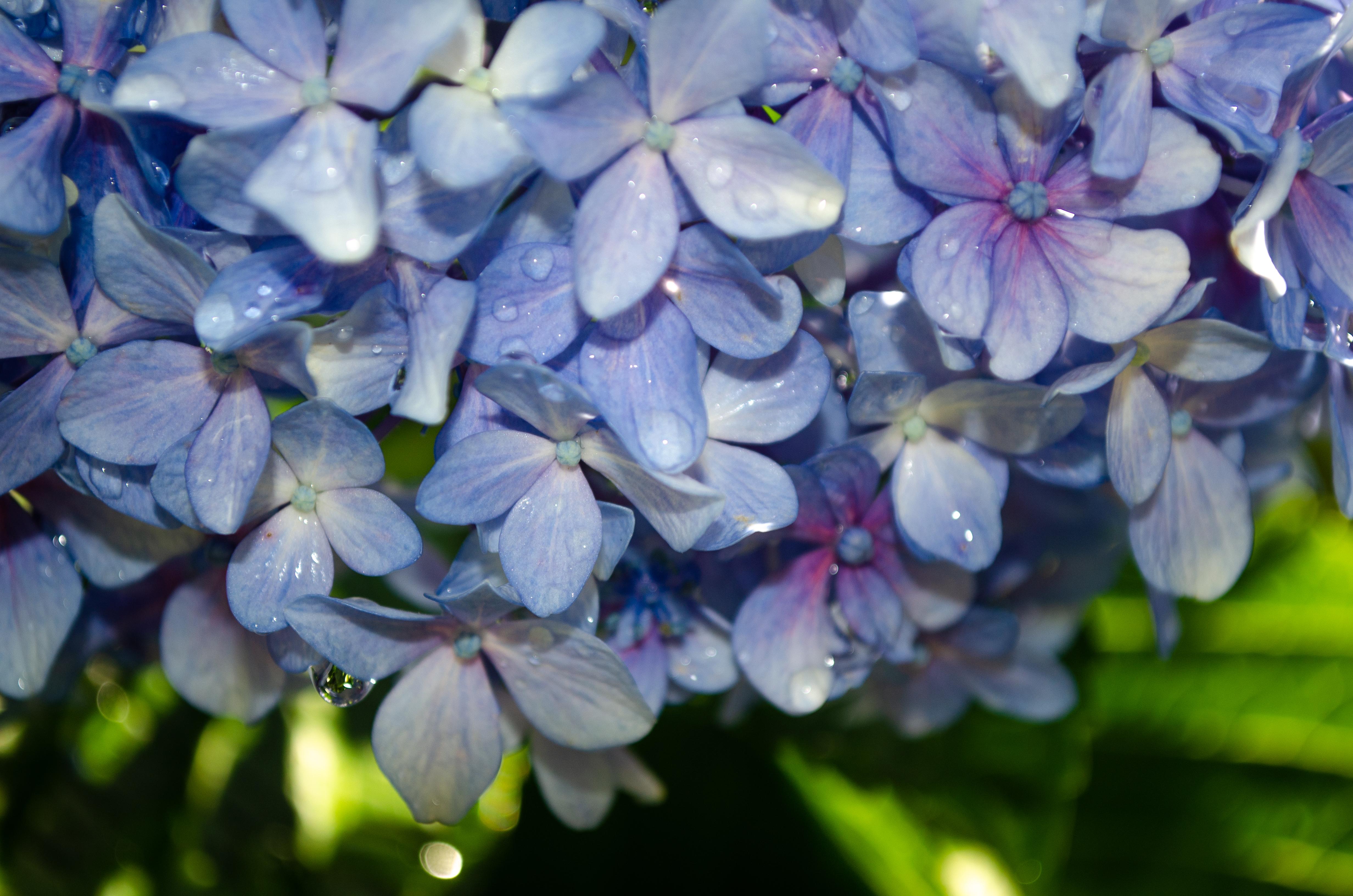 Come Far Fiorire Le Ortensie immagini belle : natura, fiore, viola, blu, verde, rugiada