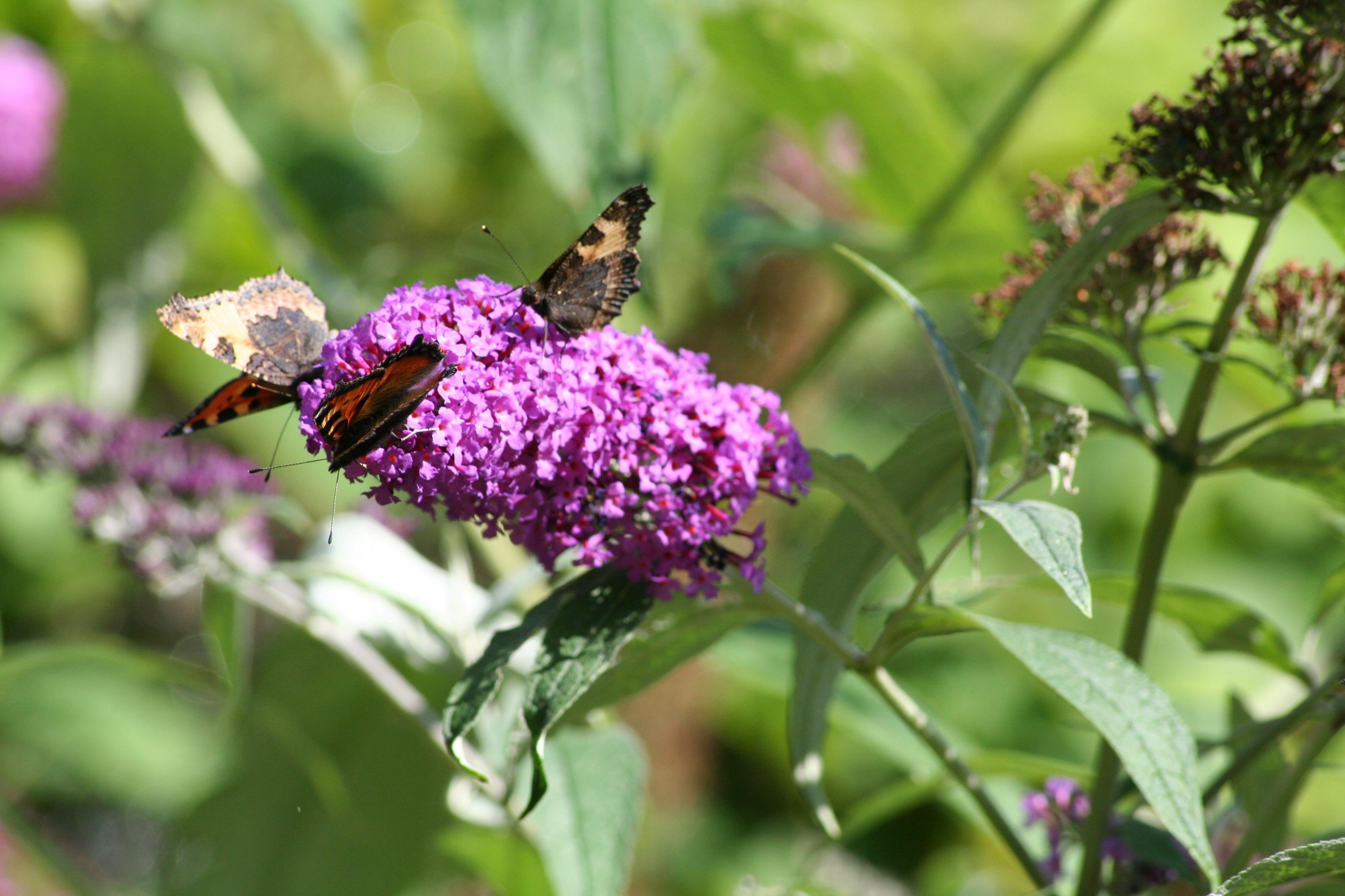 Nature Flower Wildlife Insect Hummingbird Botany Butterfly Garden Flora  Fauna Invertebrate Wildflower Shrub Bee Butterflies Nectar