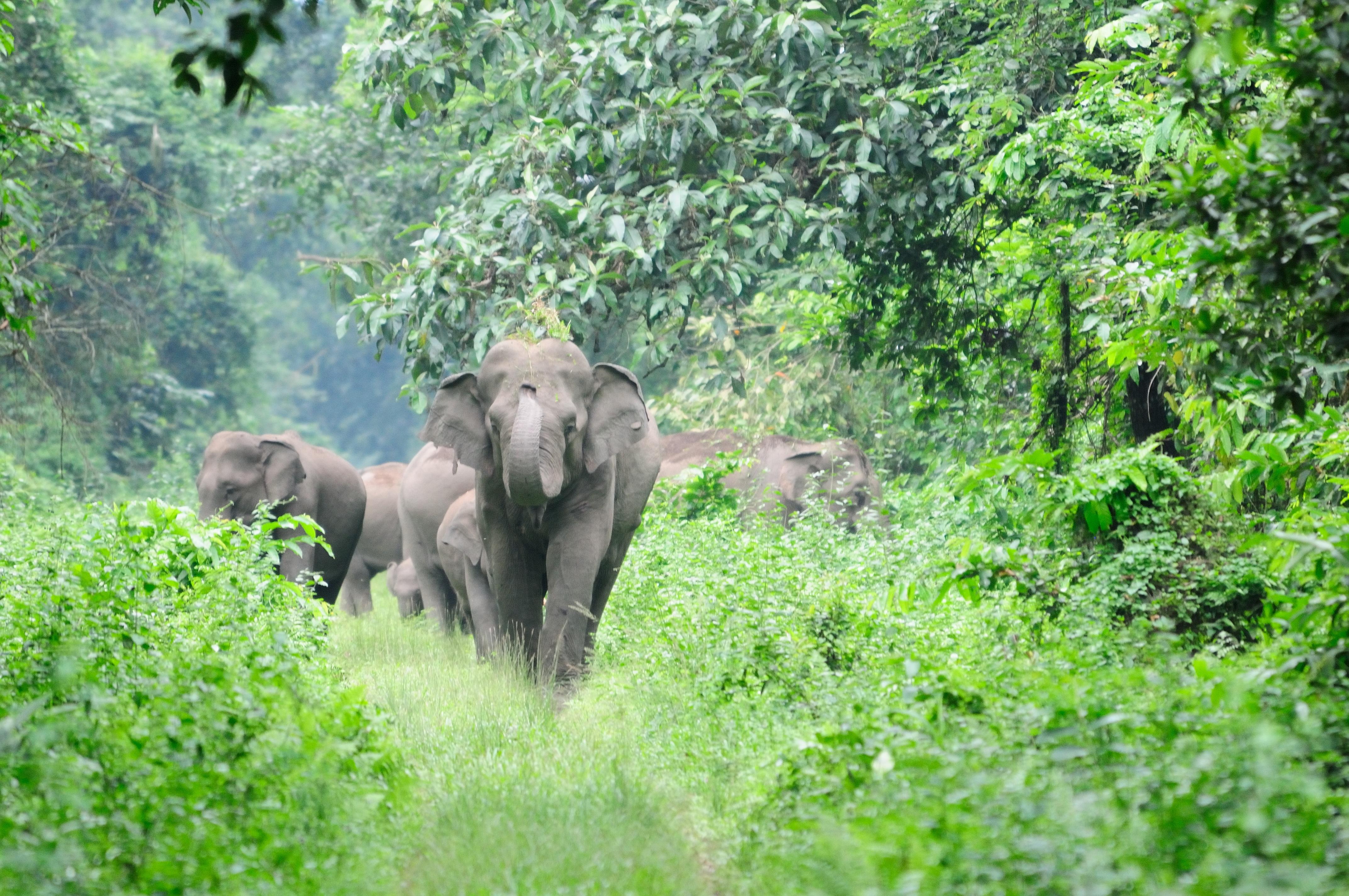 Images gratuites la nature aventure faune sauvage zoo jungle mammif re l phant for t - Photos d elephants gratuites ...