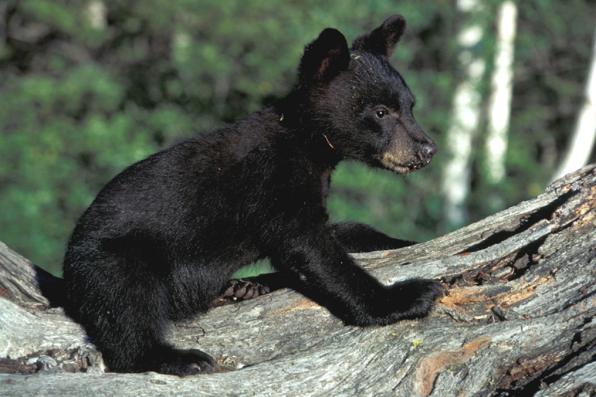 730 Gambar Hewan Beruang Hitam Gratis