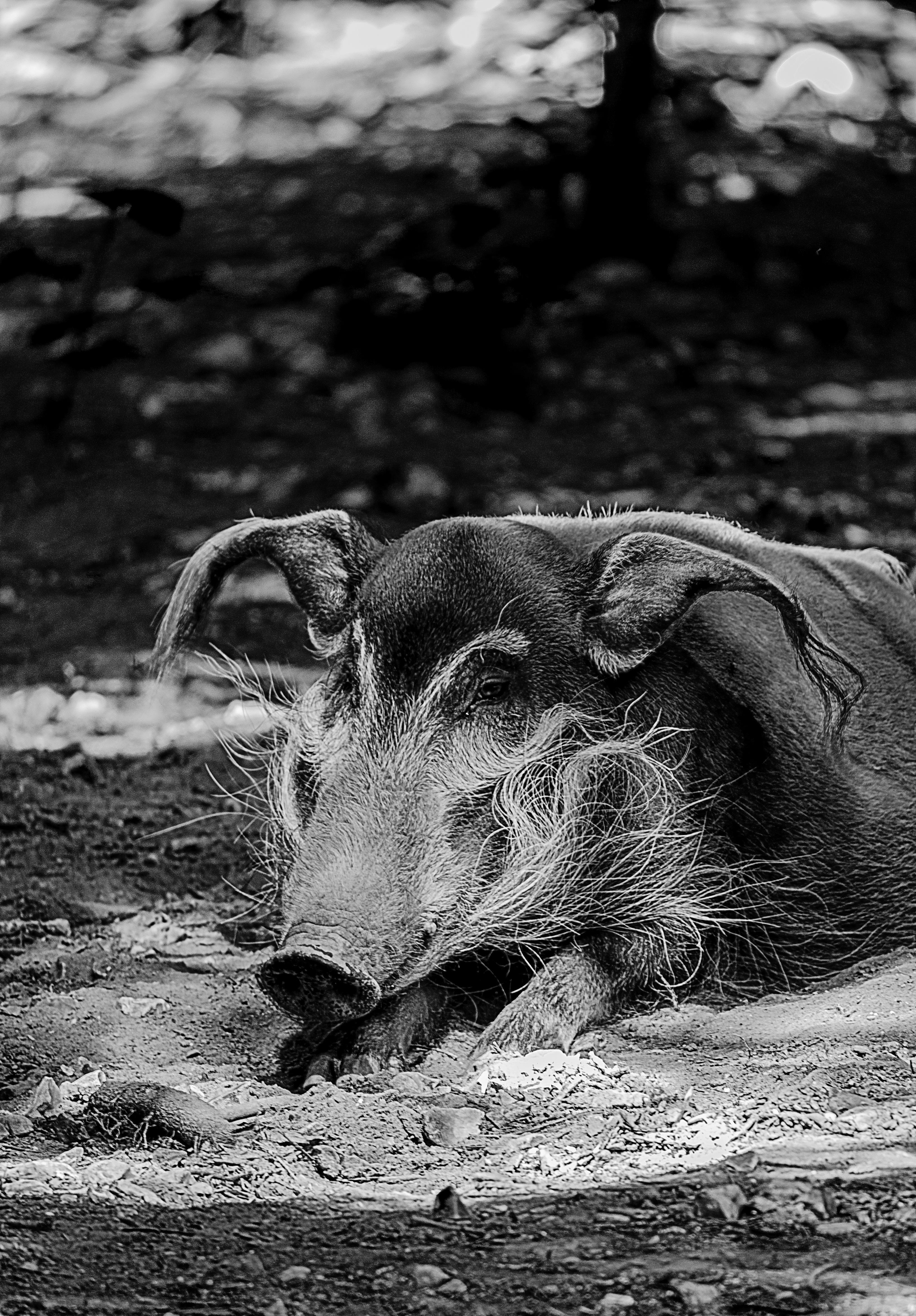 76 Gambar Babi Hutan Hitam Putih HD