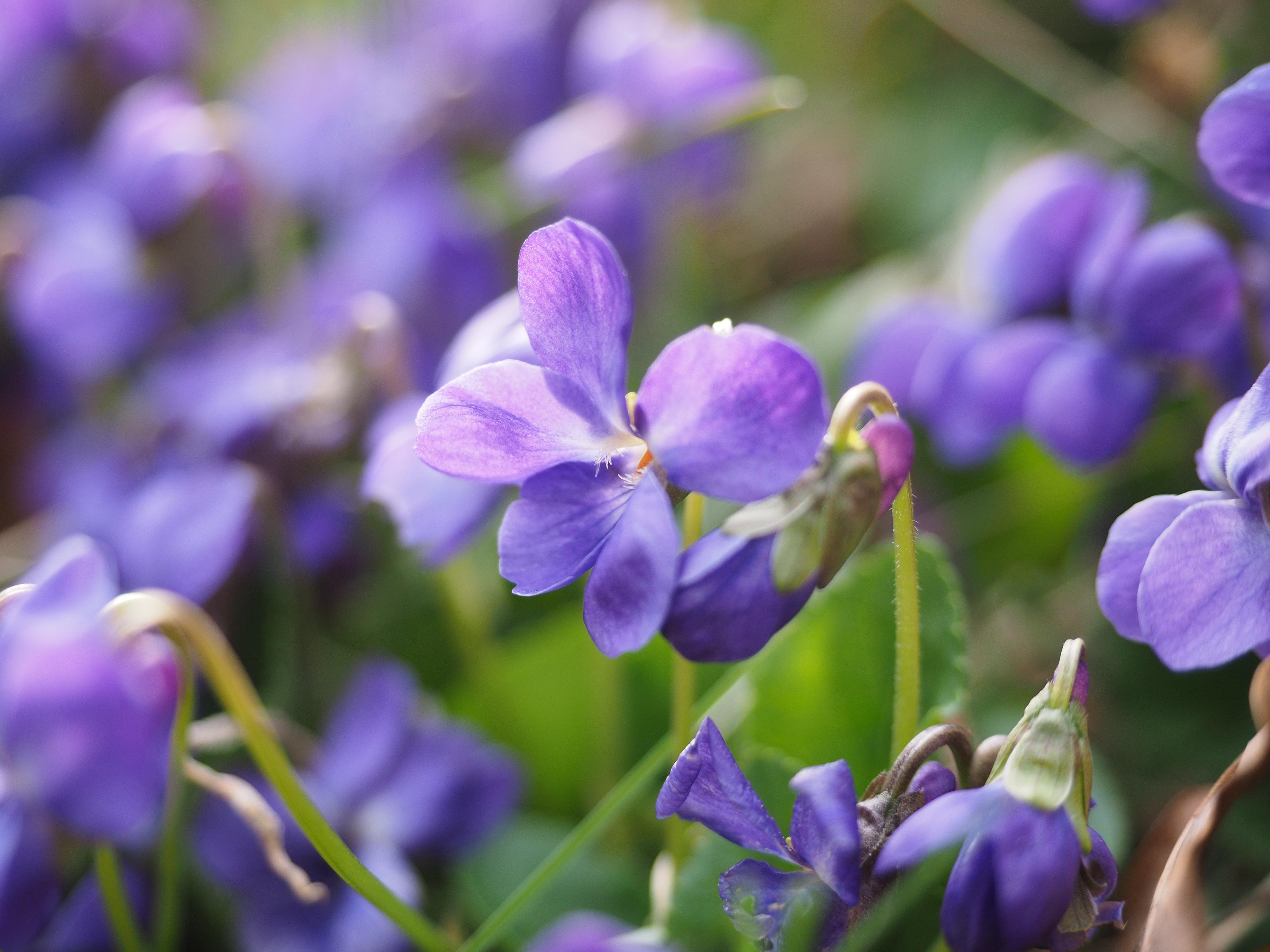 free images nature forest blossom flower purple petal