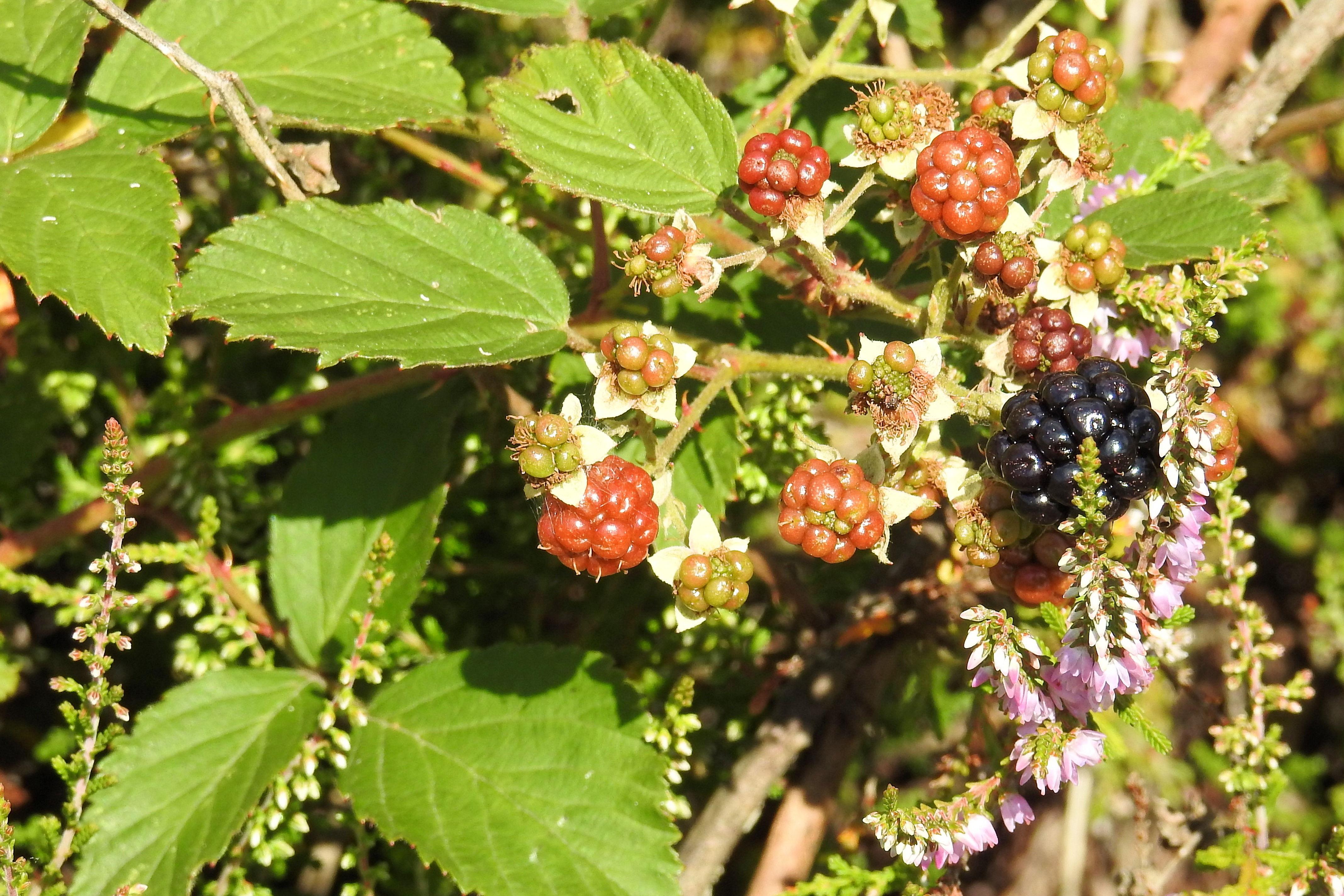 62 Gambar Pohon Anggur Hutan HD