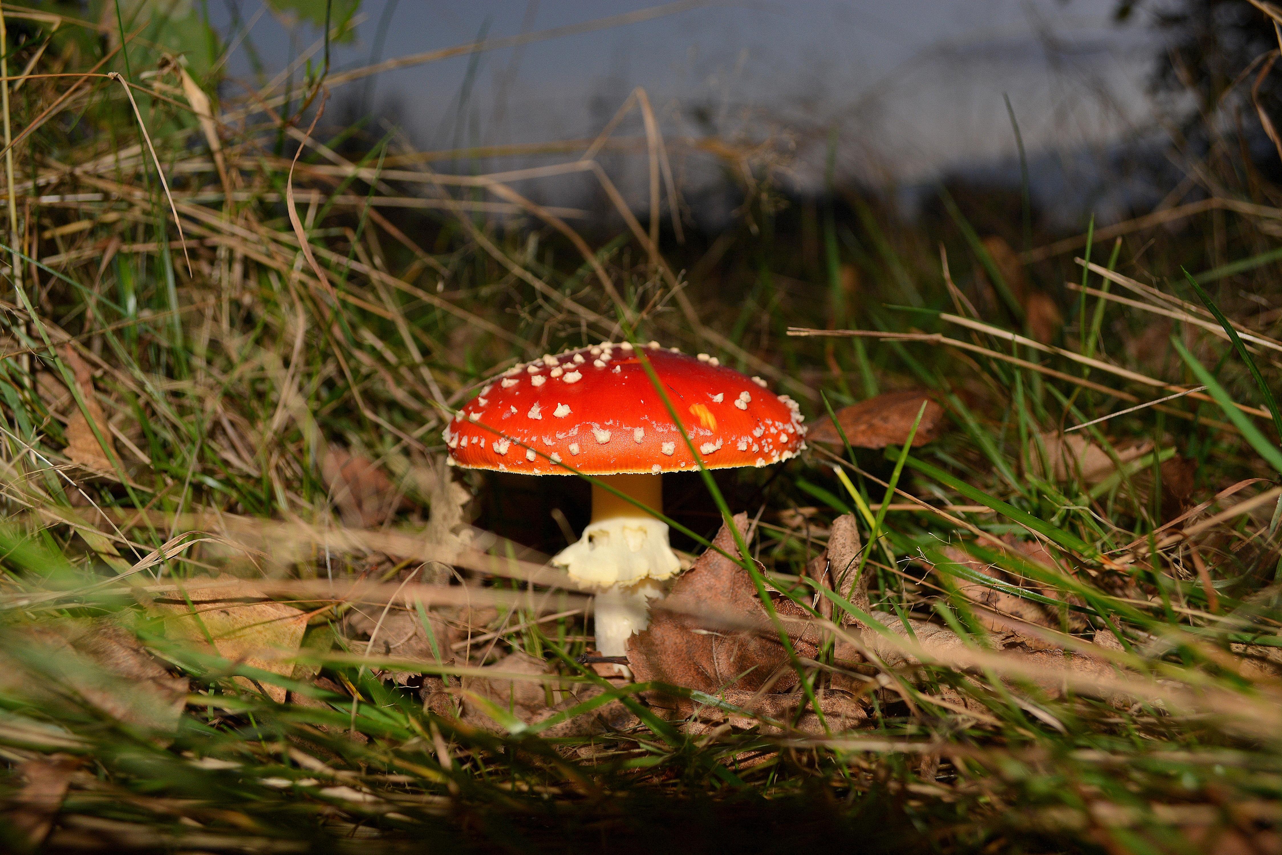 Картинки грибов мухомор поганка пошаговое