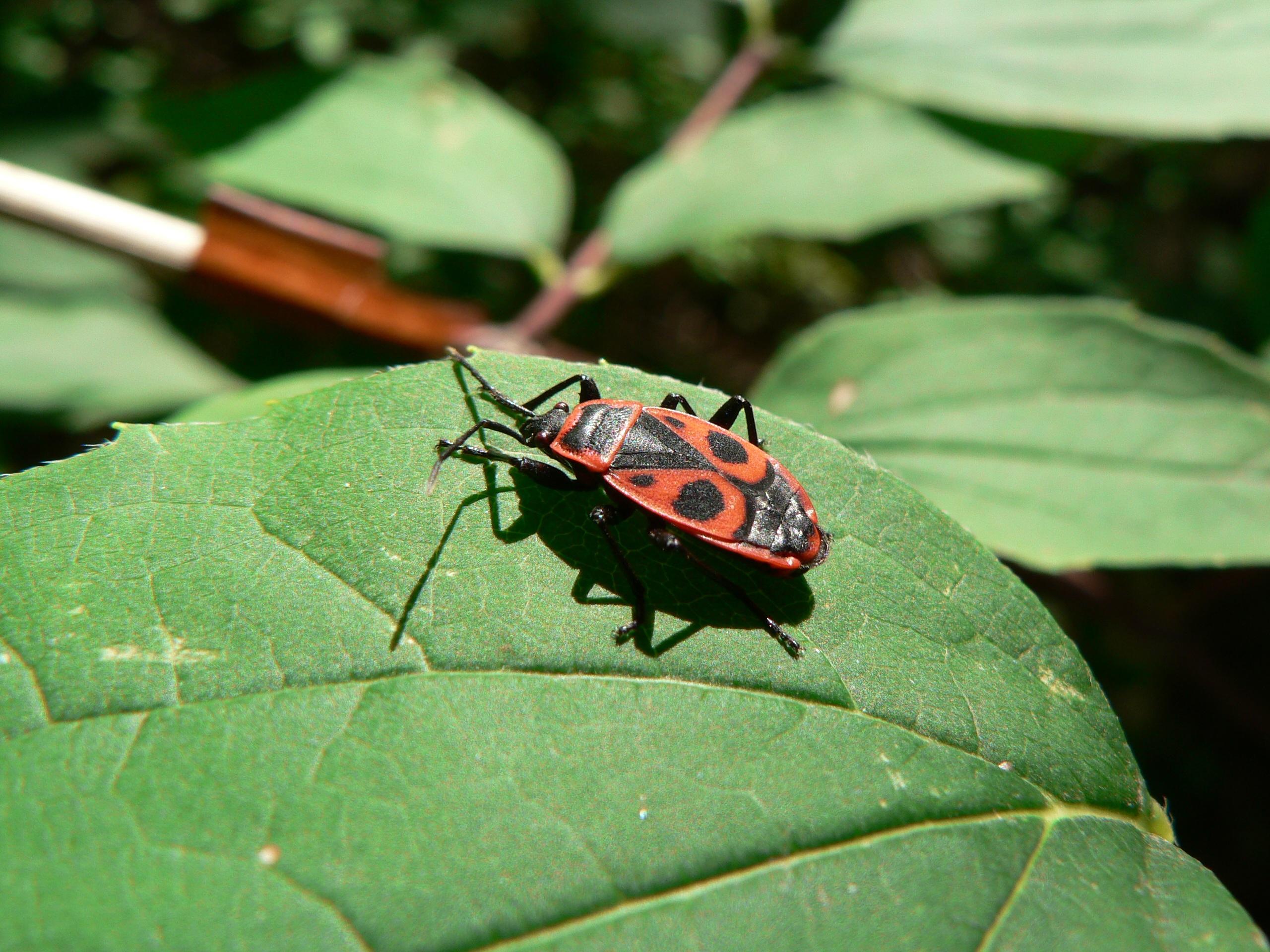 kostenlose foto natur wald blatt blume rot insekt. Black Bedroom Furniture Sets. Home Design Ideas
