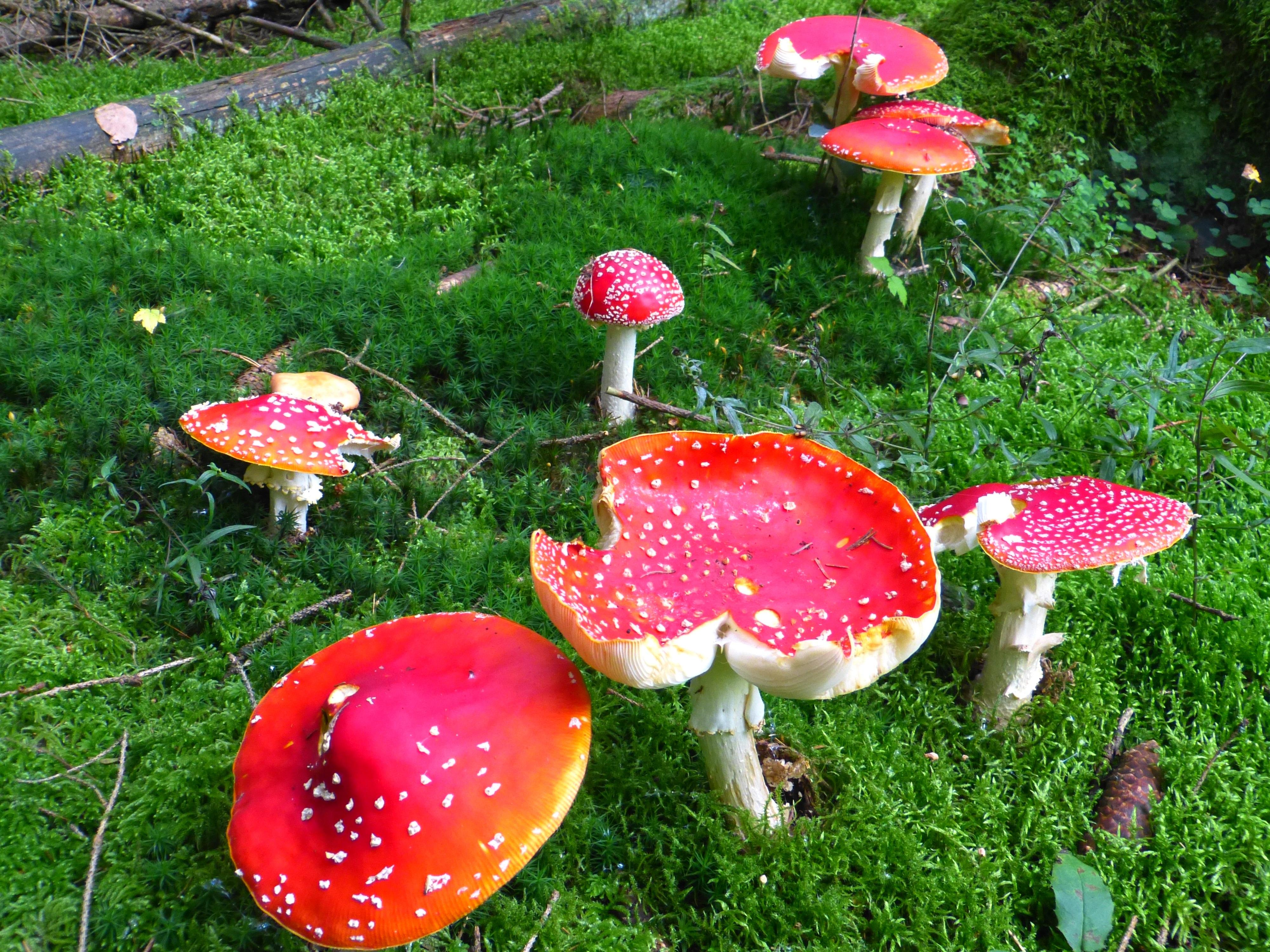 Images gratuites la nature for t plante pelouse fleur mousse rouge l 39 automne botanique - Quand planter de la pelouse ...