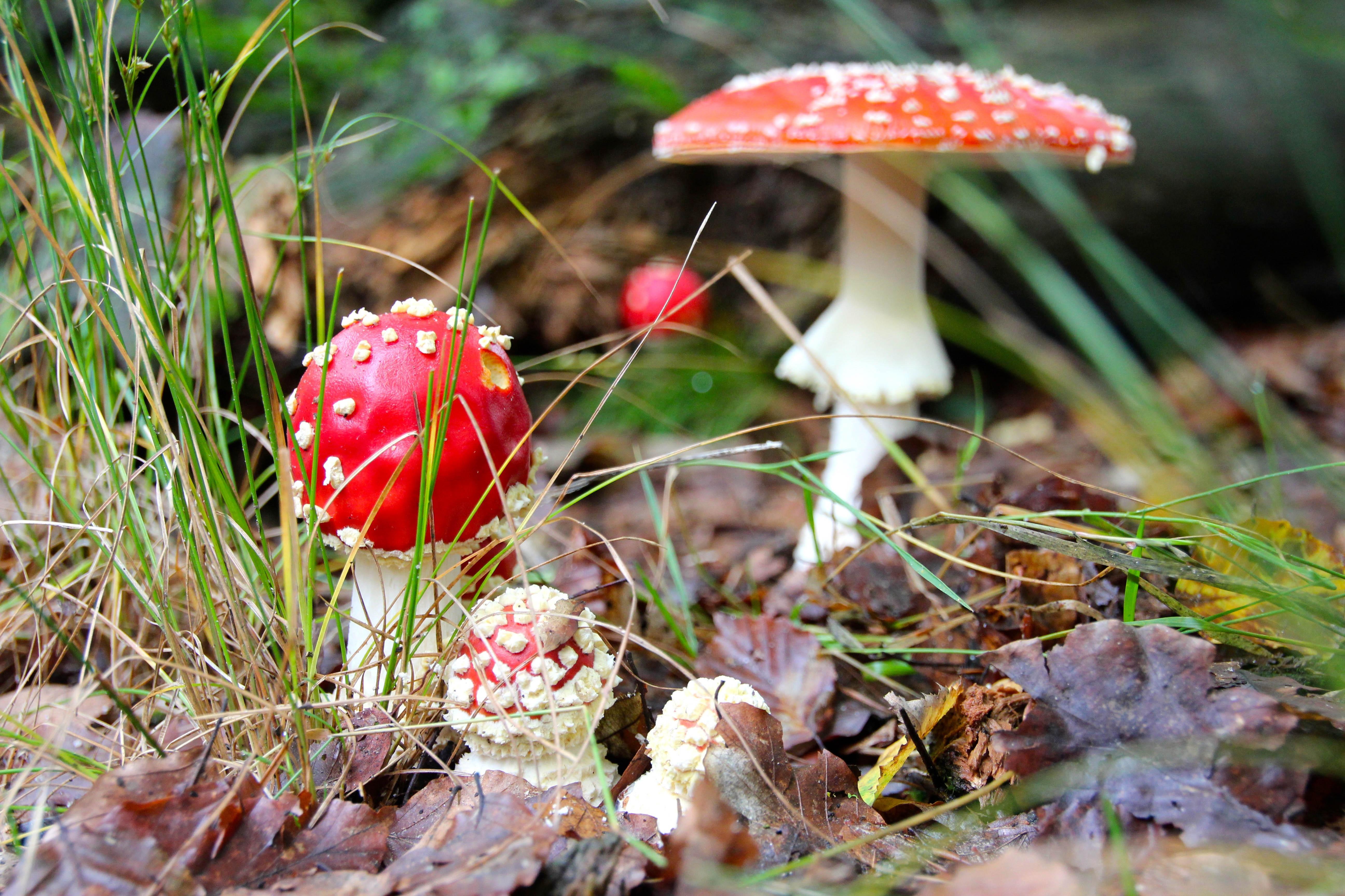 Free Images : nature, plant, leaf, flower, autumn, botany, flora, wildflower, forest floor, fungus, mushrooms, fly agaric, woodland, macro ...5184 x 3456 jpeg 2429kB